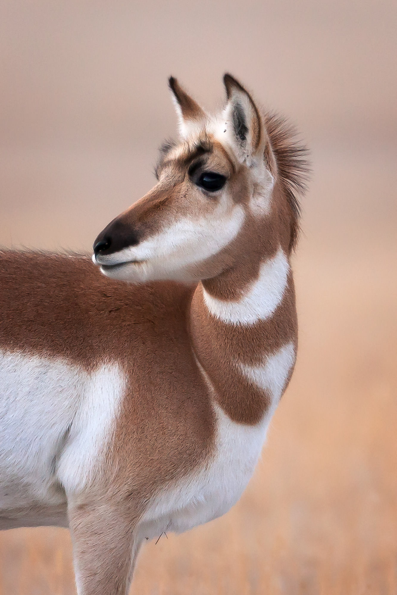 Pronghorn Antelope Fine Art Photography A Limited Edition photograph of a very pretty Pronghorn Antelope on the prairie in Yellowstone...