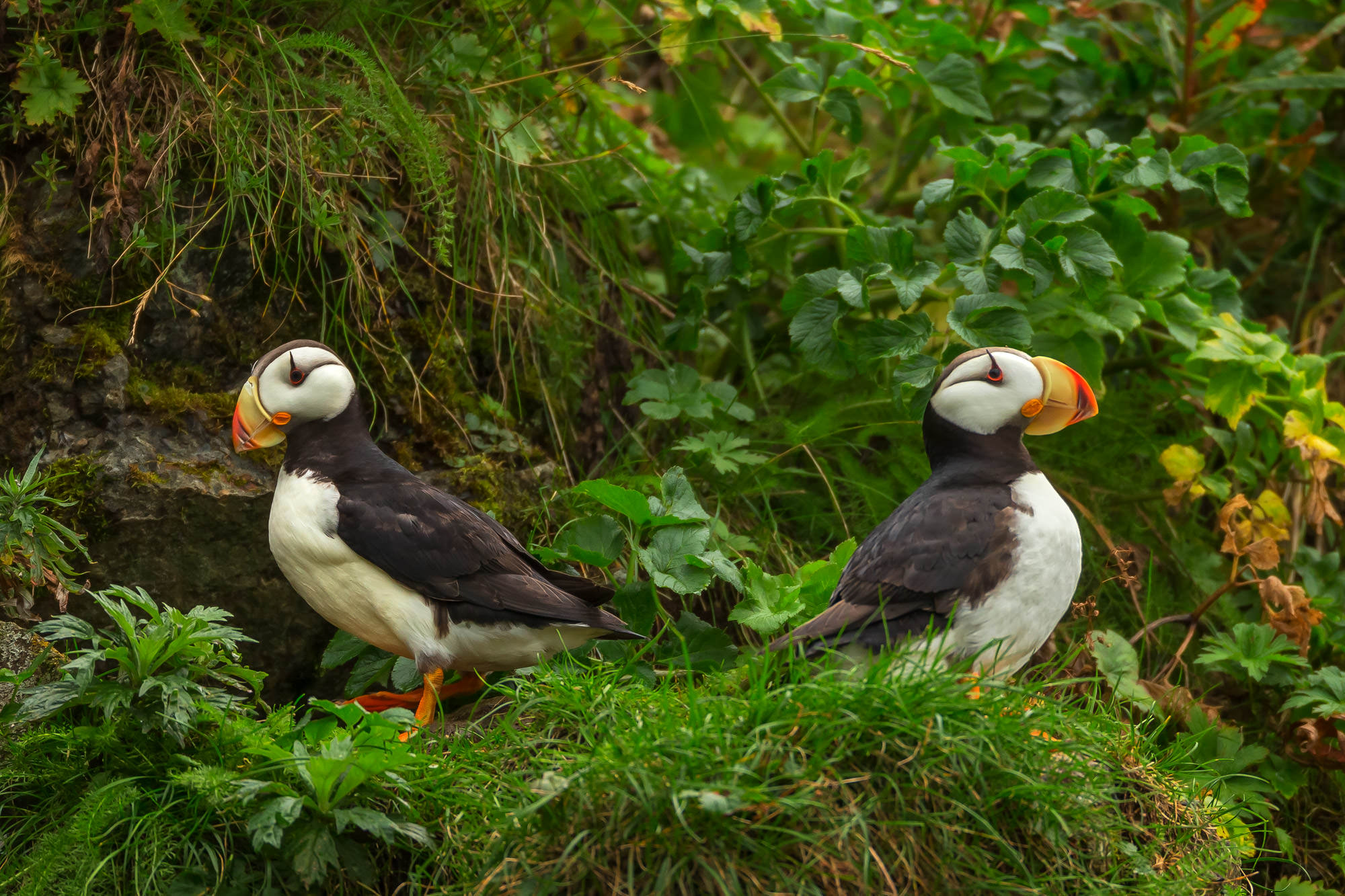 Puffin, Atlantic Puffin, Alaska, photo