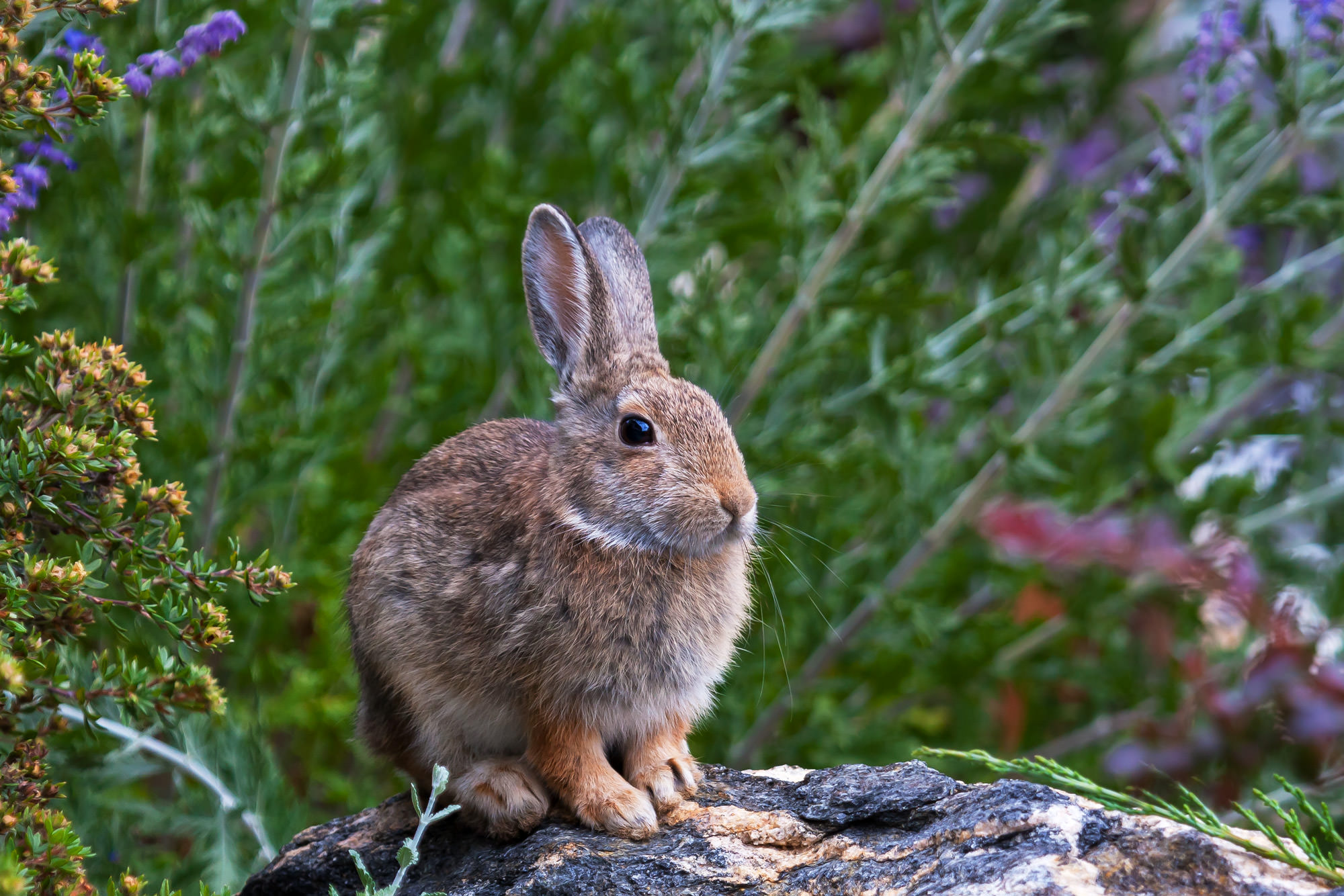 Rabbit, Colorado, Rocky Mountain, photo