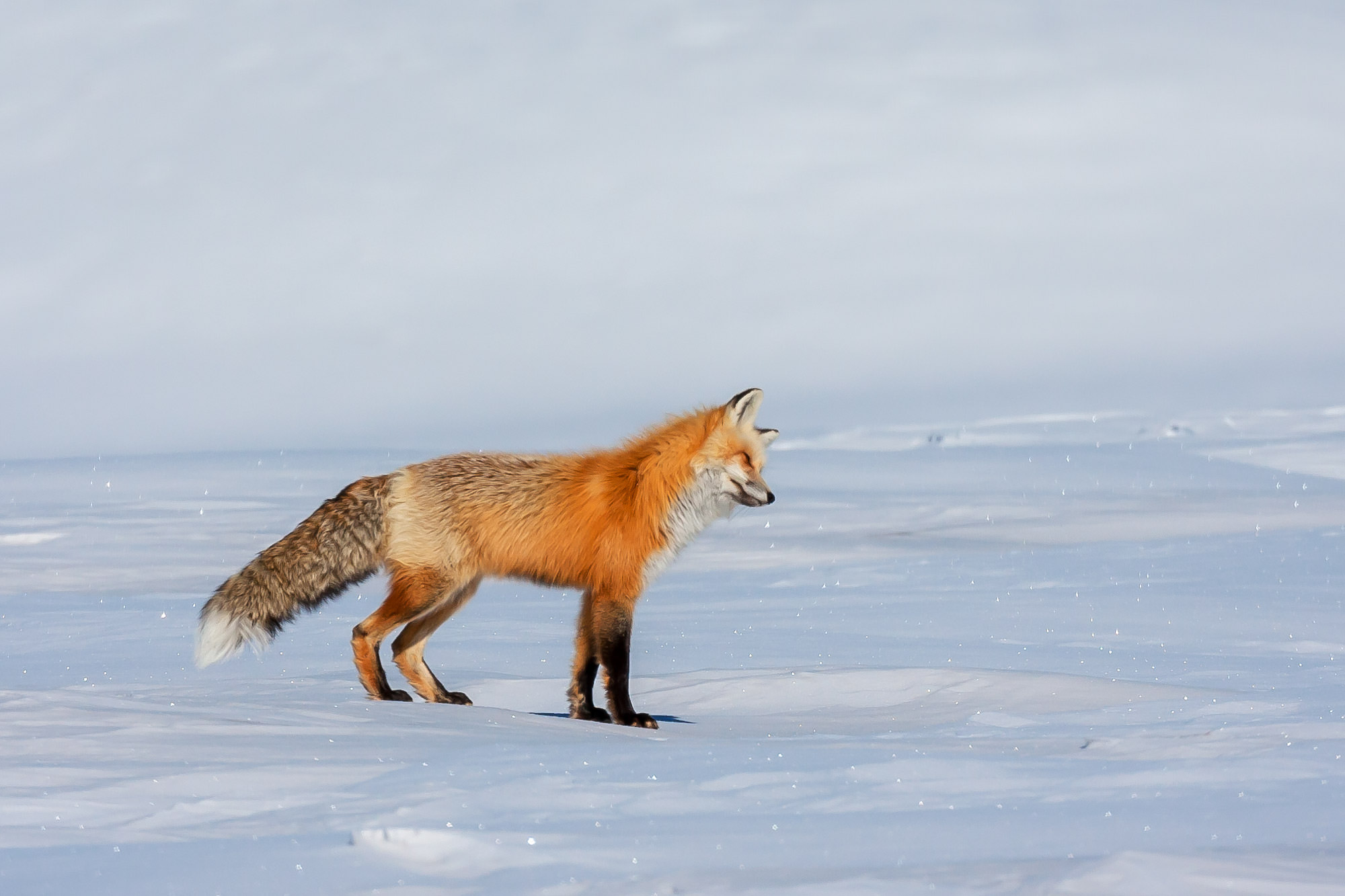 Fox, Red Fox, Winter, Yellowstone, Wyoming, limited edition, photograph, fine art, wildlife, photo