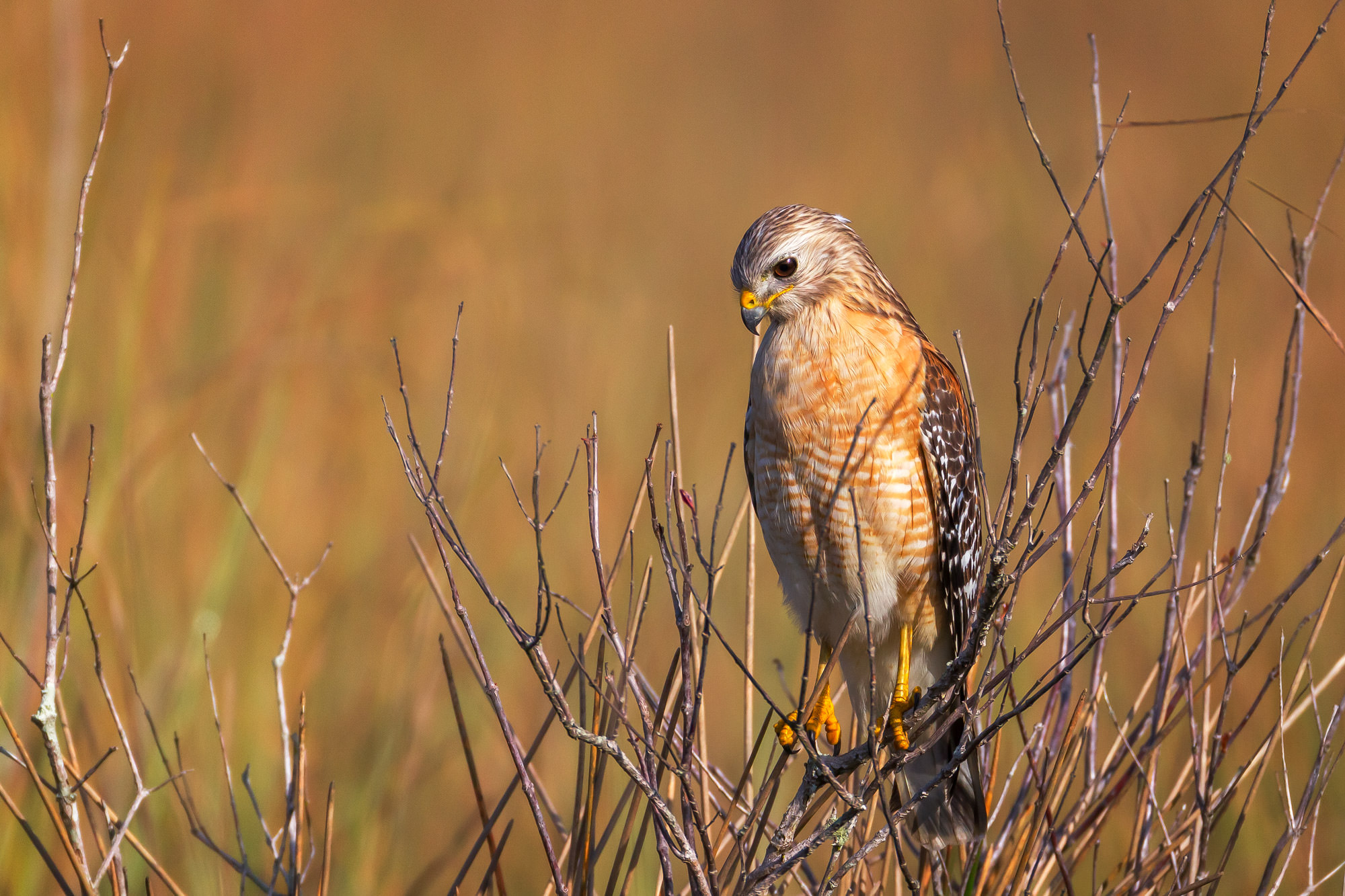 Hawk, Red Shouldered Hawk, Florida, photo