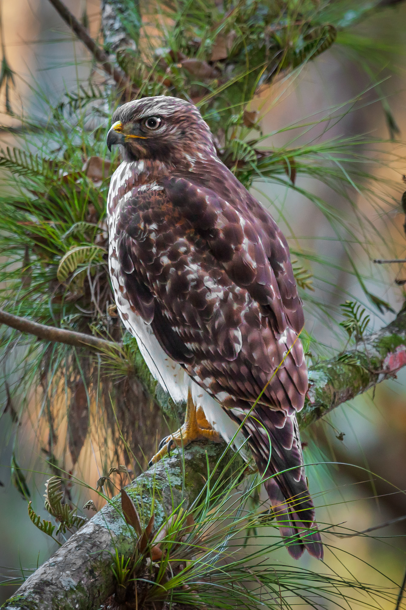 Hawk, Red Tailed Hawk, Florida, photo