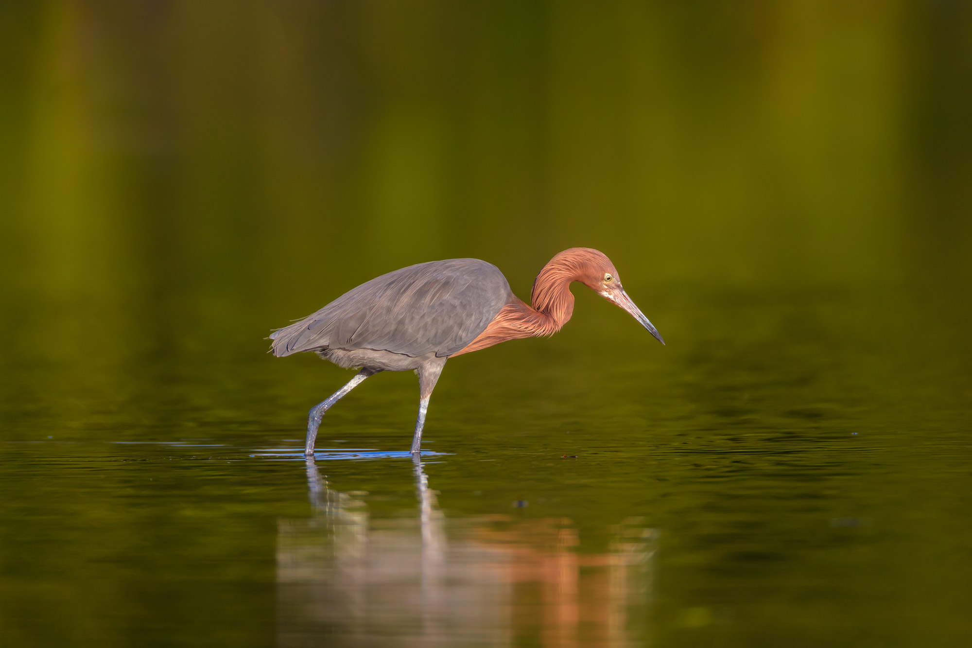 Egret, Reddish Egret, Florida, photo
