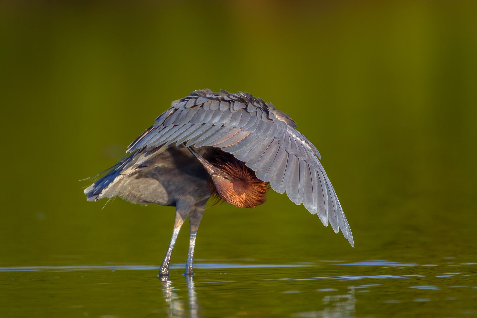 Egret, Reddish Egret, Florida, photo