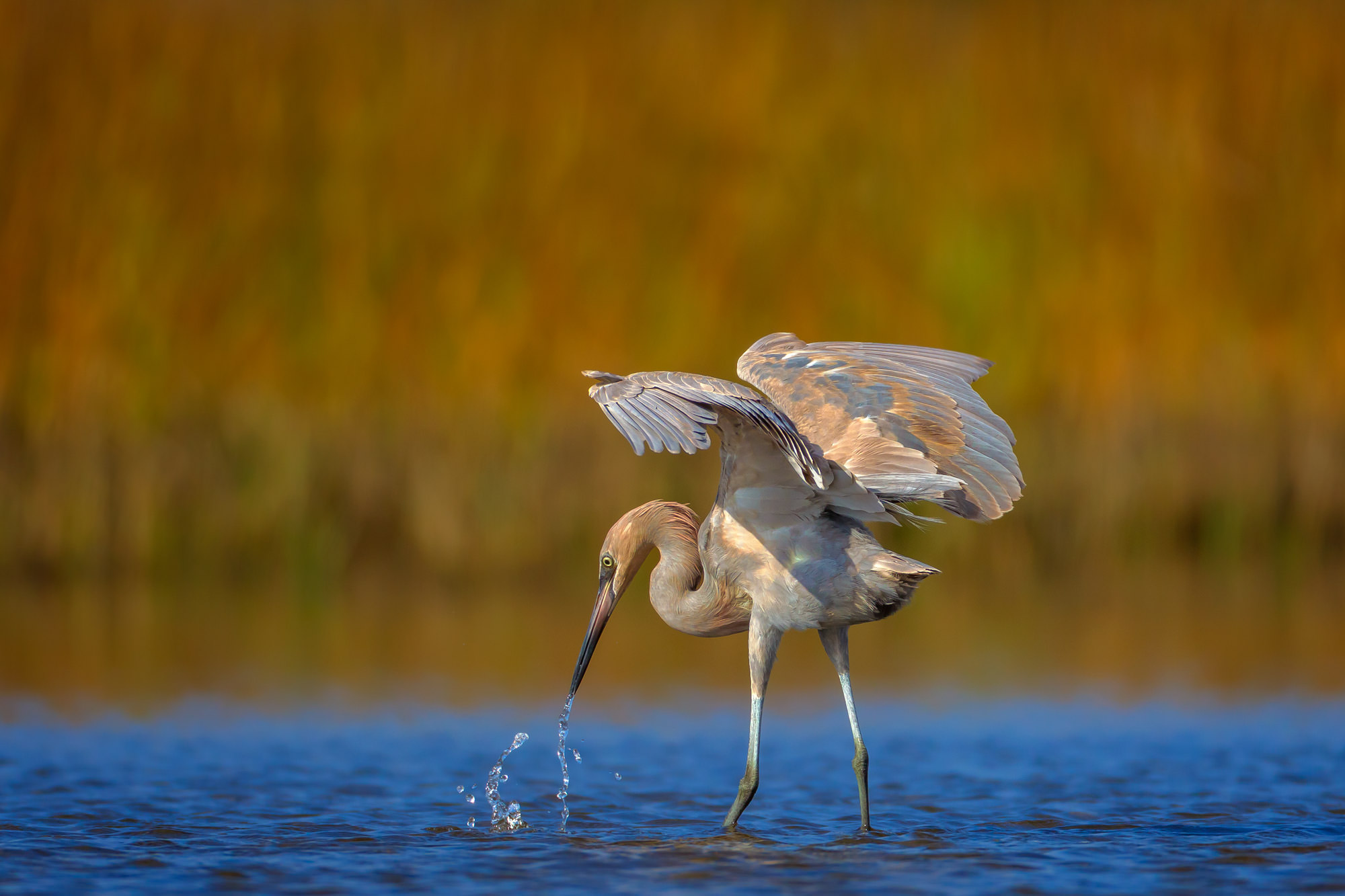 Egret, Reddish Egret, Florida, limited edition, photograph, fine art, wildlife, photo