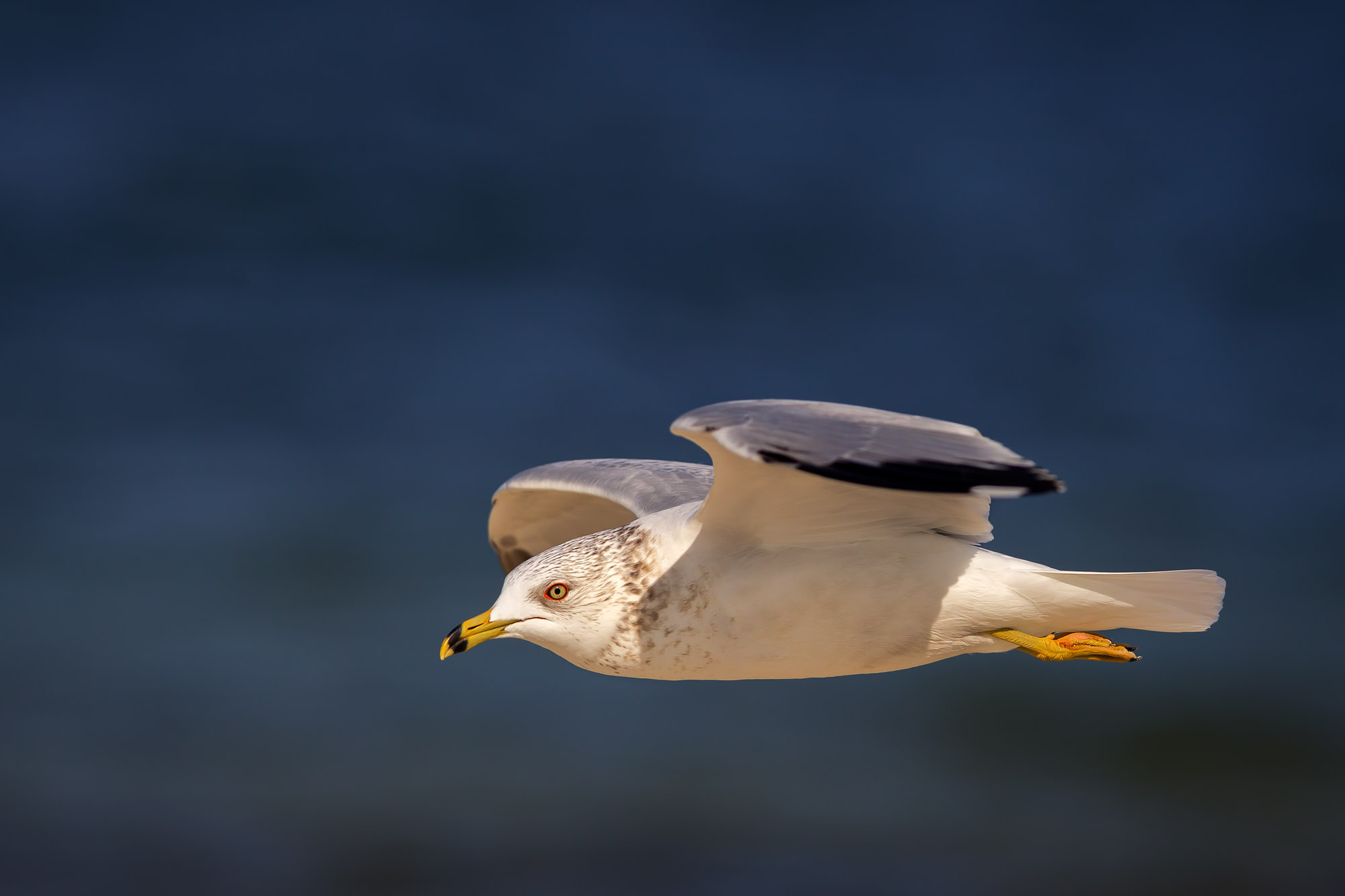 Shore Bird Fine Art Photography A Limited Edition photograph of a Ring-billed Gull in flight and zipping by against the colors...