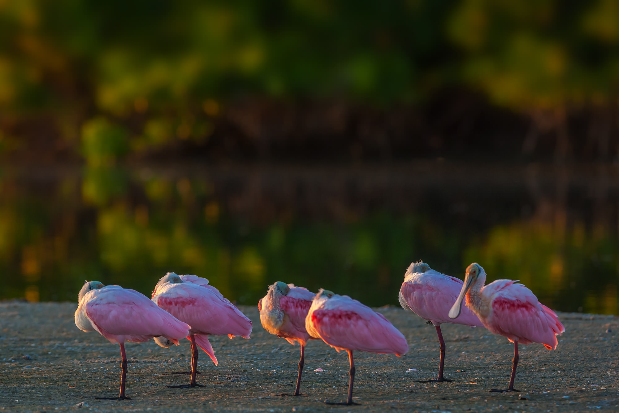 Roseate Spoonbill Fine Art Photography A Limited Edition photograph of six Roseate Spoonbills with one staying awake and keeping...