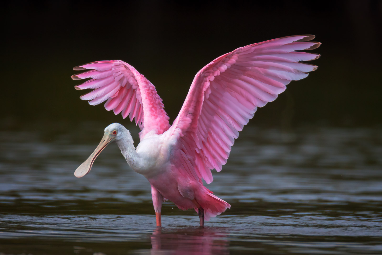 Roseate Spoonbill Fine Art Photography A Limited Edition photograph of a Roseate Spoonbill in the water with its wings raised...