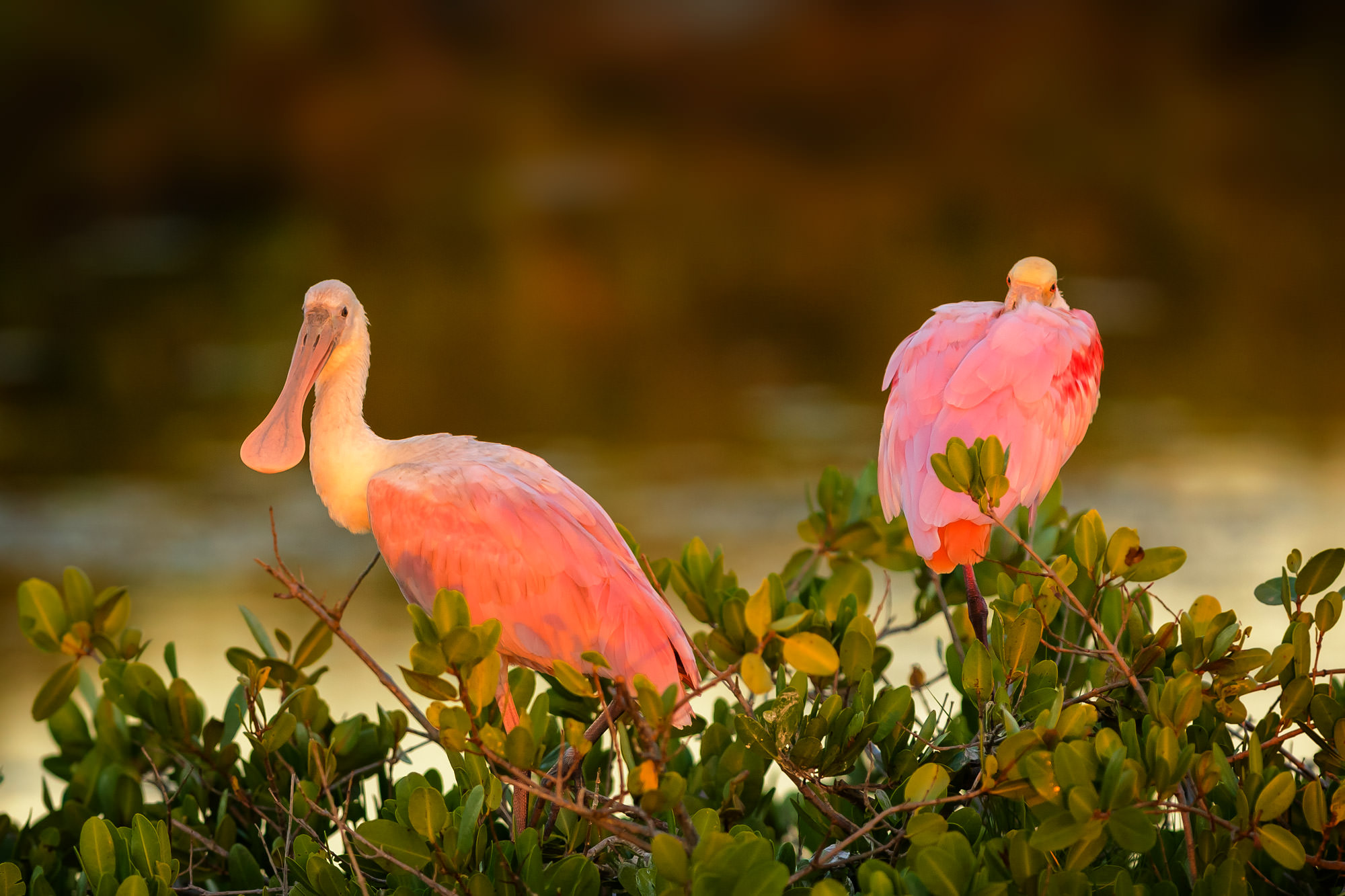 Roseate Spoonbill Fine Art Photography A Limited Edition photograph of two Roseate Spoonbills perched in mangroves in sunset...
