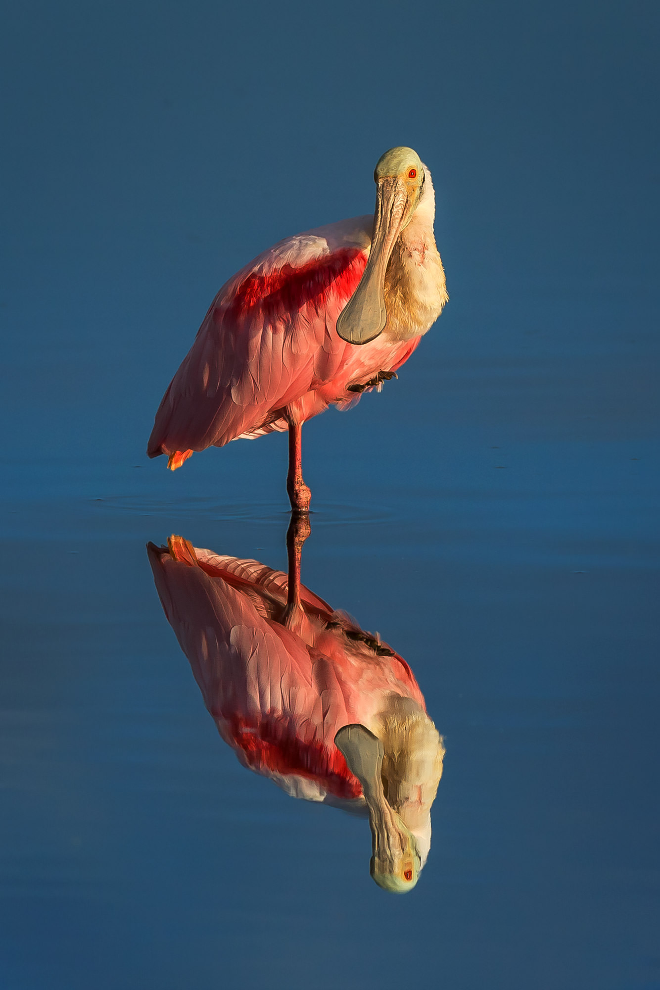 Spoonbill, Roseate Spoonbill, Florida, limited edition, photograph, fine art, wildlife, photo