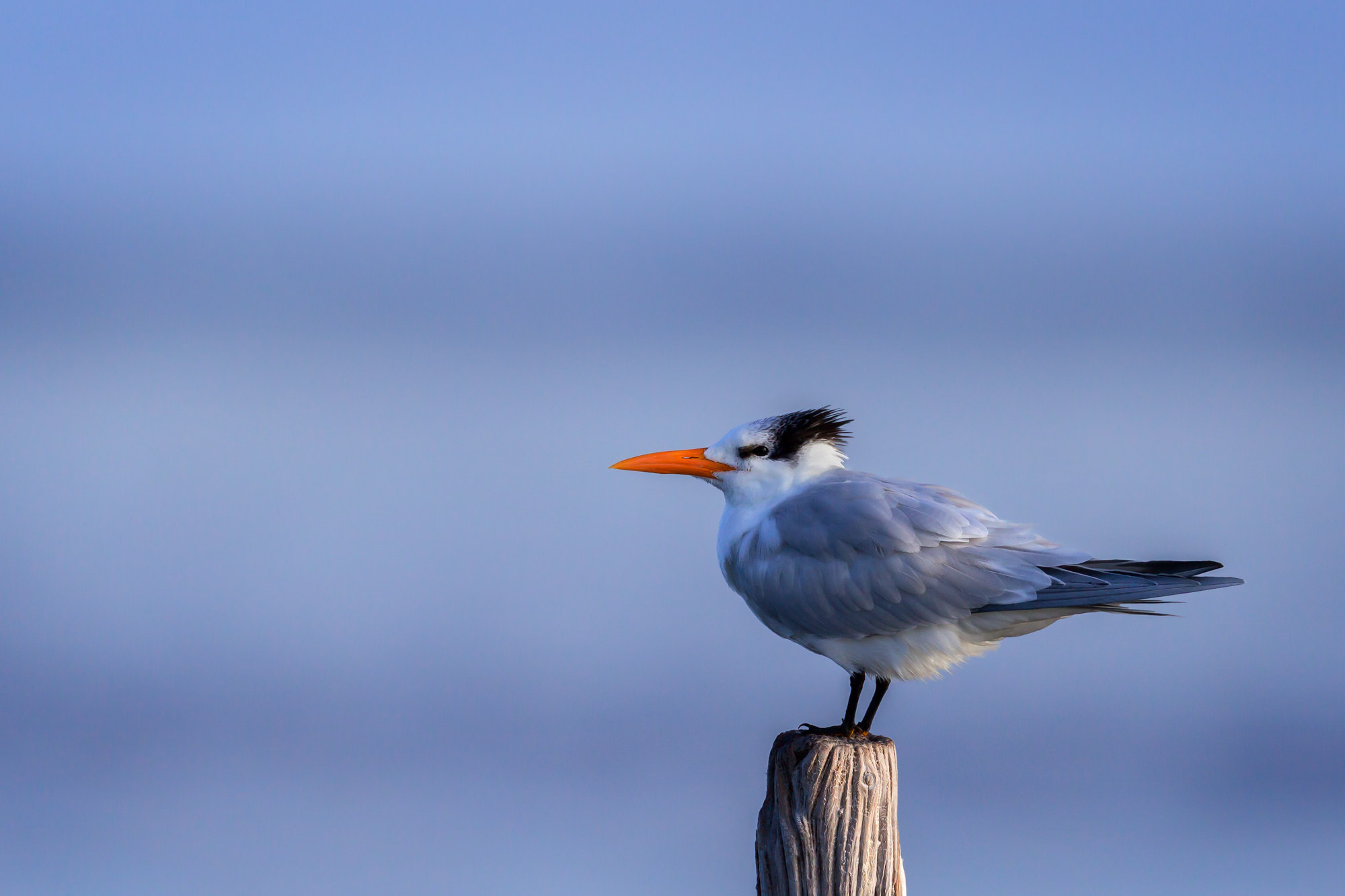 Shore Bird Fine Art Photography A Limited Edition photograph of a Royal Tern guarding his post while facing into the wind on...