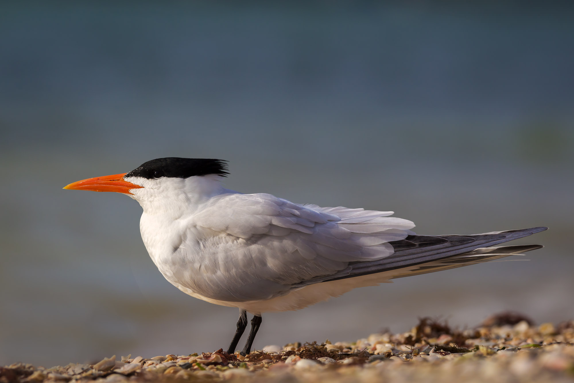 Royal Tern, Florida, beach, limited edition, photograph, photo