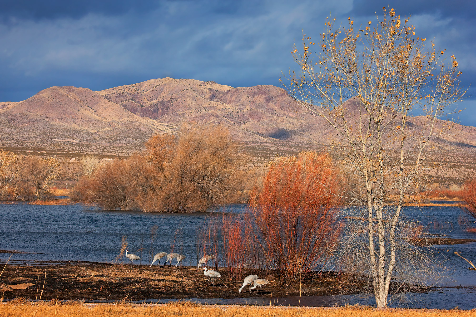 Sandhill Crane Fine Art Photography A Limited Edition photograph of Sand Hill Cranes feeding in the morning at Bosque del Apache...
