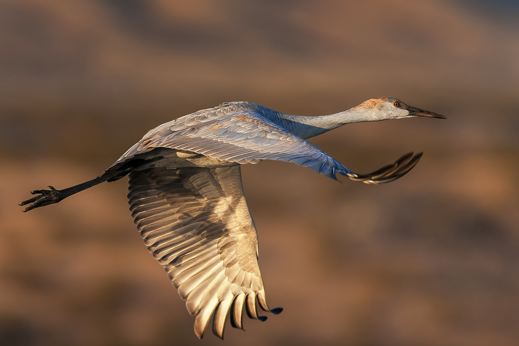 Sandhill Crane Fine Art Photography A Limited Edition photograph of a Sand Hill Crane in full flight at Bosque del Apache National...
