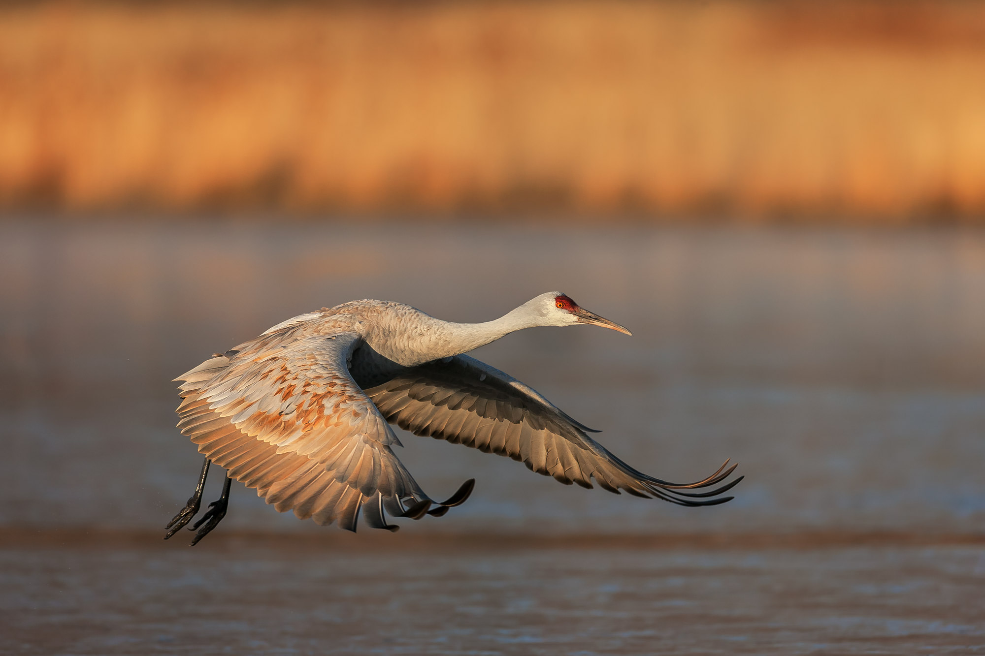 Sandhill Crane, New Mexico, Bosque del Apache, limited edition, photograph, takeoff, fine art, wildlife, photo