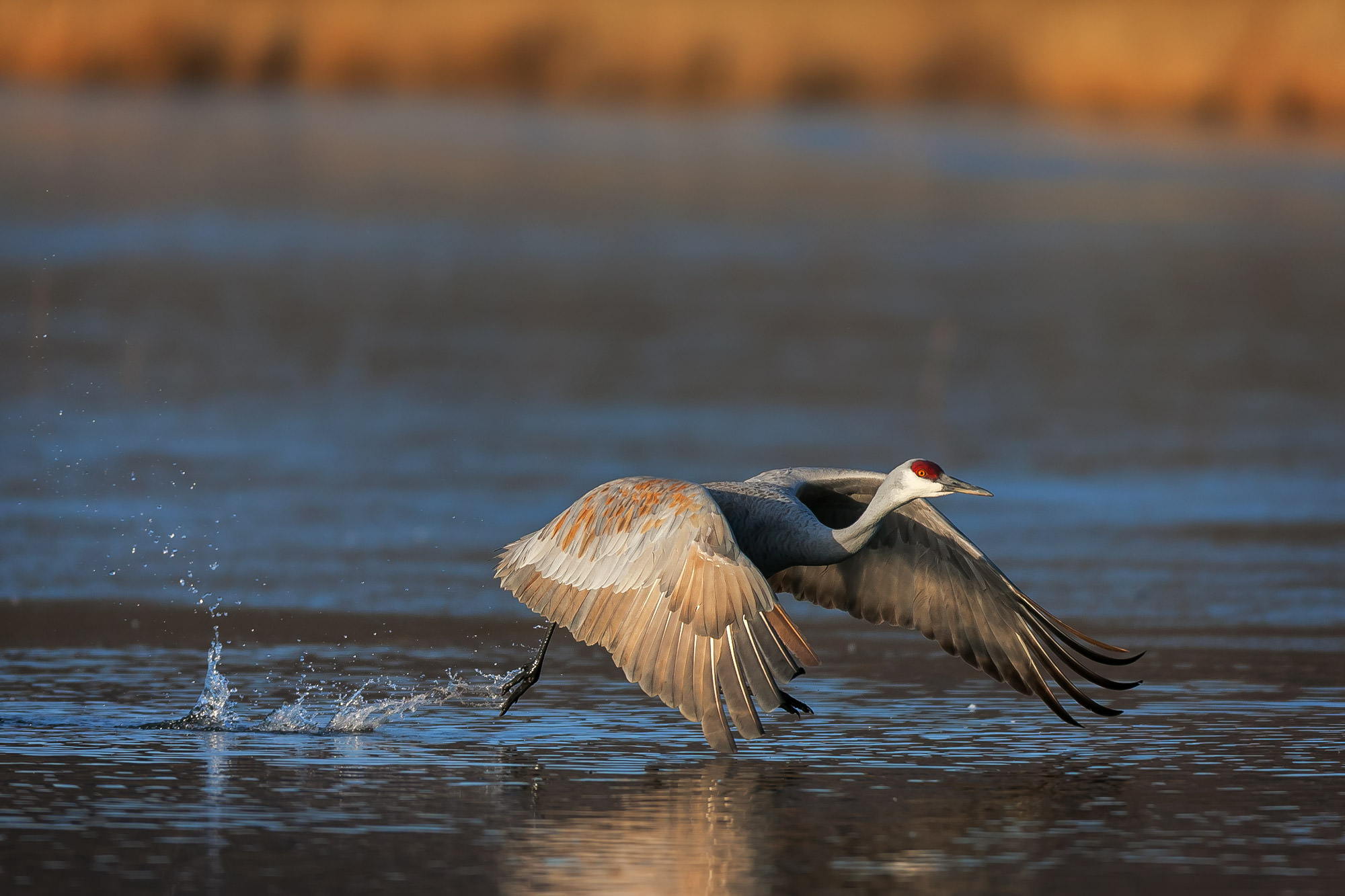 Sandhill Crane, New Mexico, Bosque del Apache, takeoff, limited edition, photograph, fine art, wildlife, photo