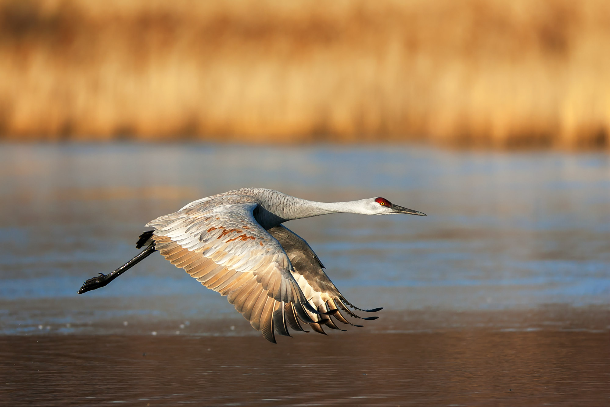 Sandhill Crane, New Mexico, Bosque del Apache, flight, takeoff, limited edition, photograph, fine art, wildlife, photo