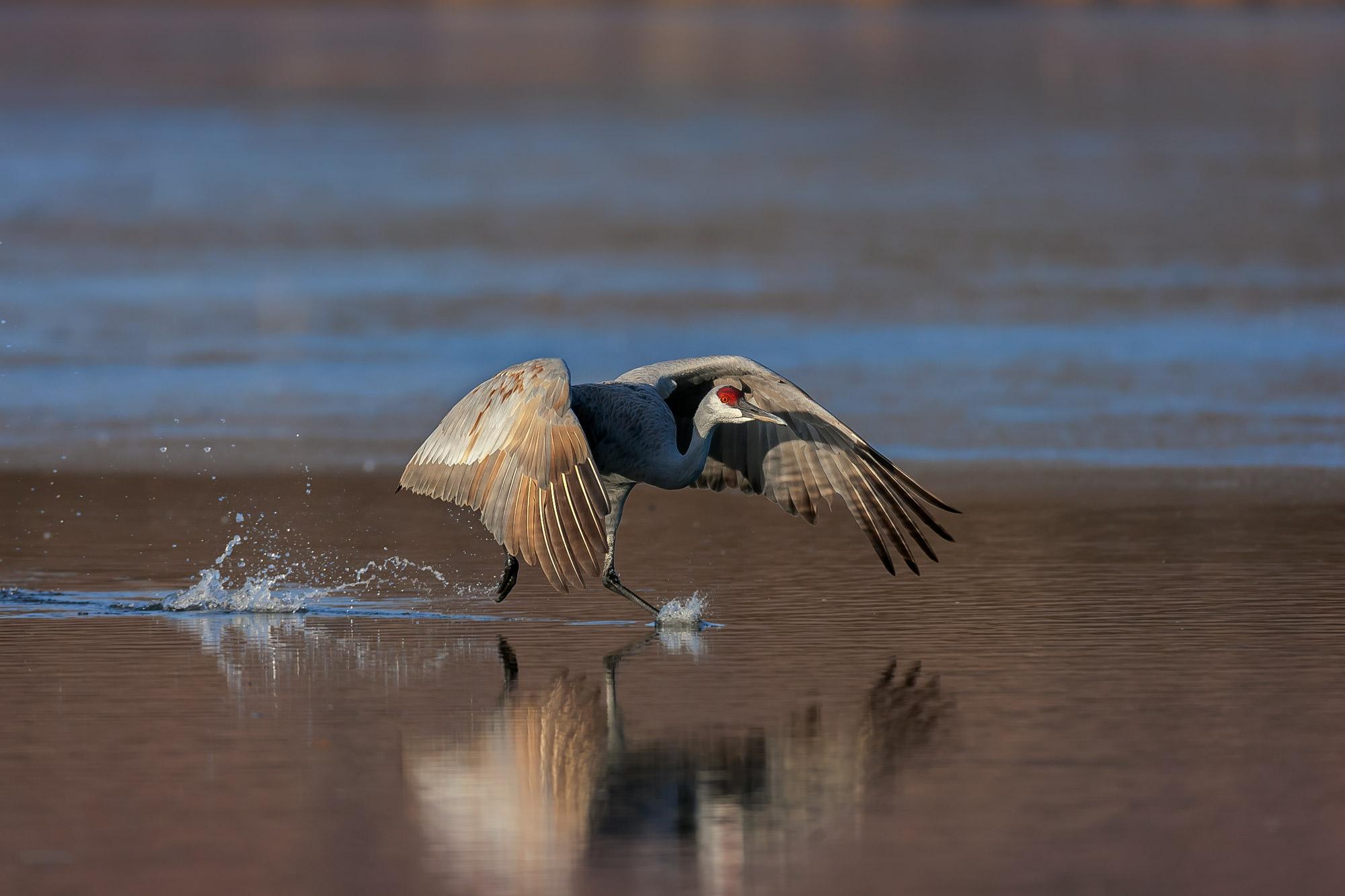 Sandhill Crane, New Mexico, Bosque del Apache, takeoff, limited edition, photograph, fine art, wildlife, photo