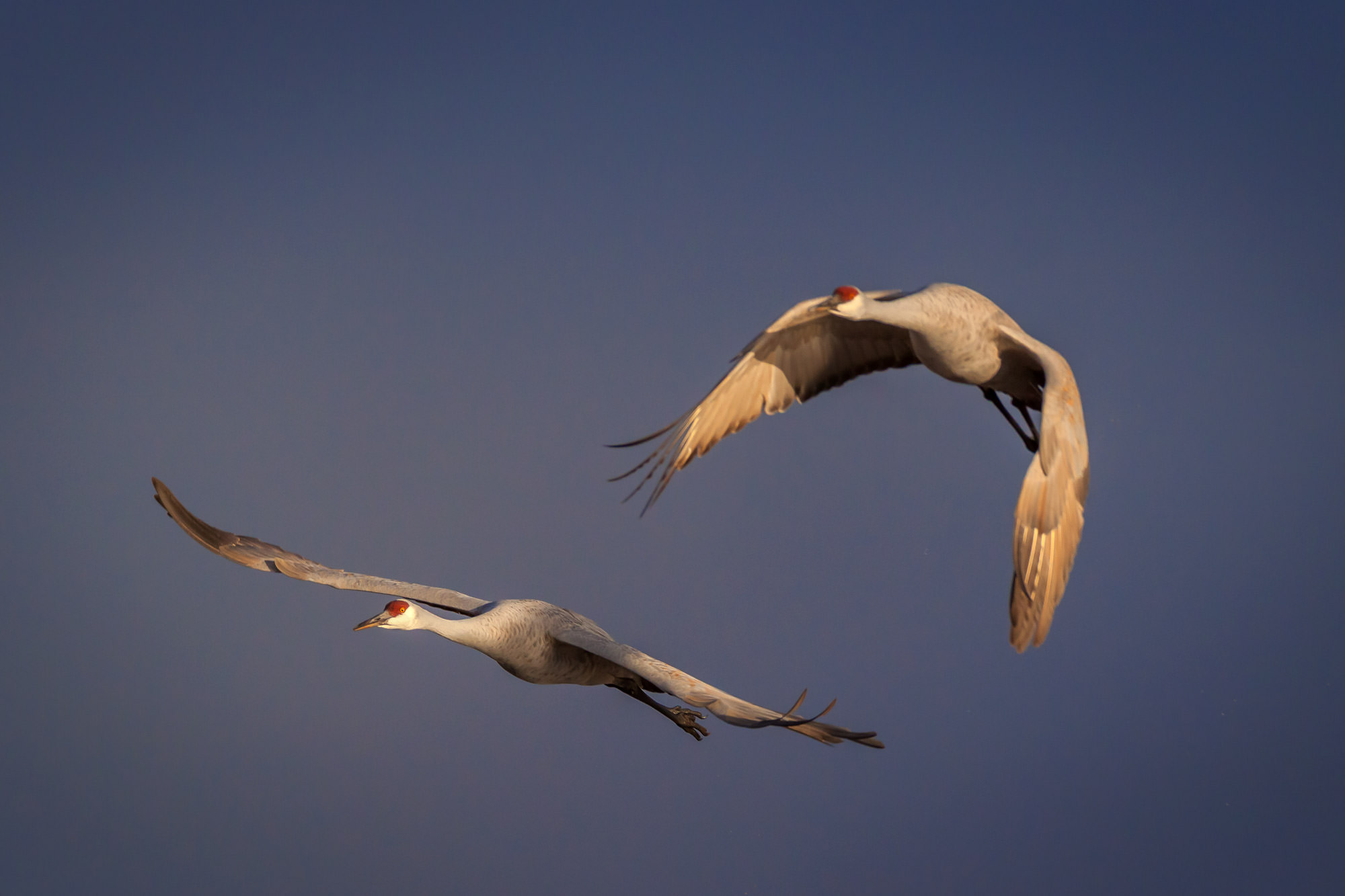 Sandhill Crane, New Mexico, Bosque del Apache, flight, limited edition, photograph, fine art, wildlife, photo