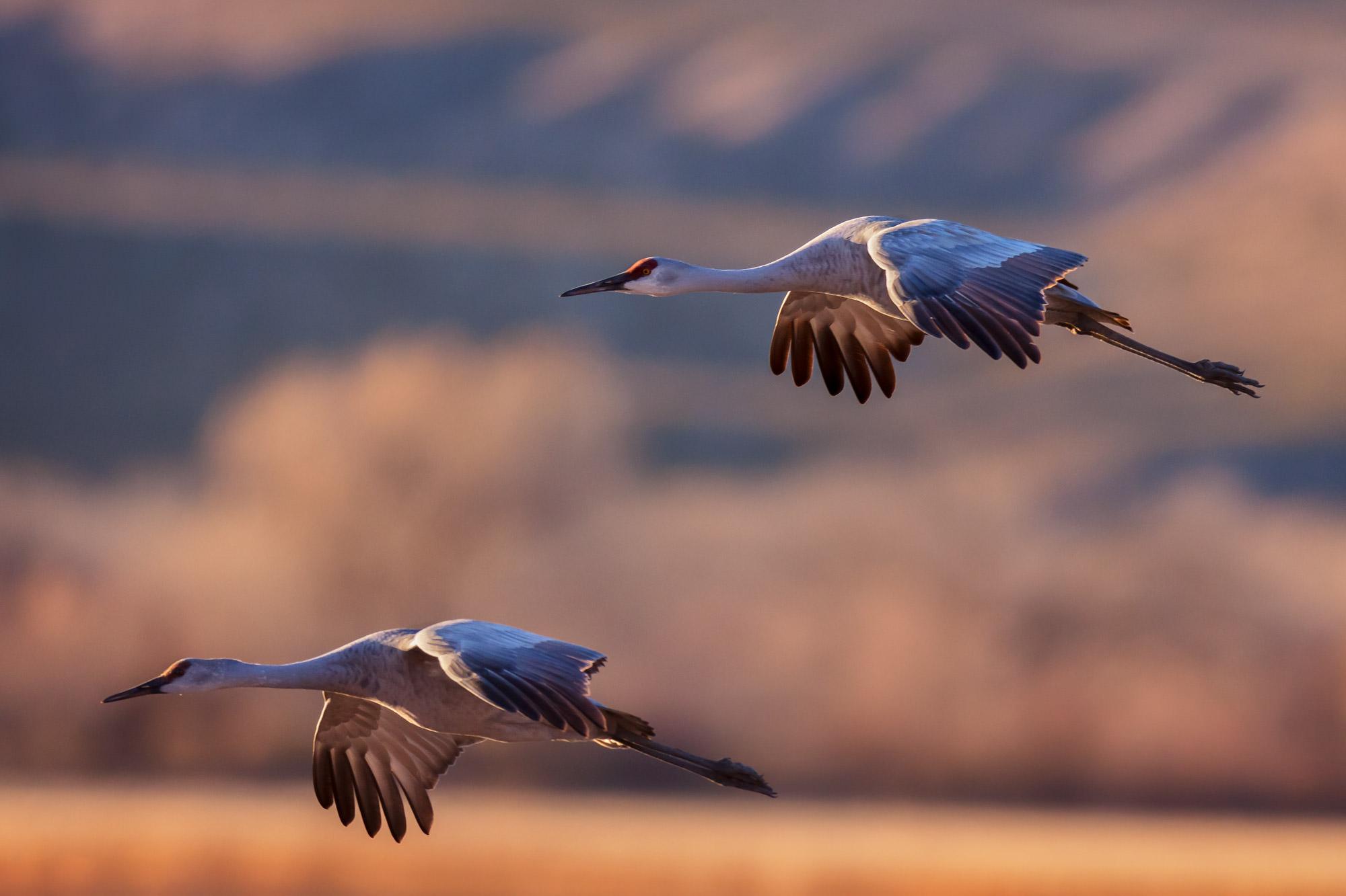 Sandhill Crane, New Mexico, Bosque del Apache, flying, limited edition, photograph, fine art, wildlife, photo