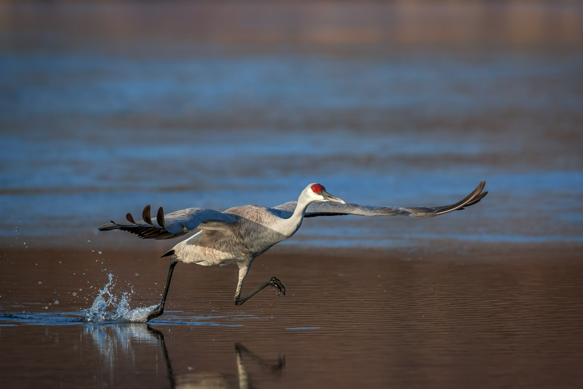 Sandhill Crane Fine Art Photography A Limited Edition photograph of a Sandhill Crane making its last steps before takeoff at...