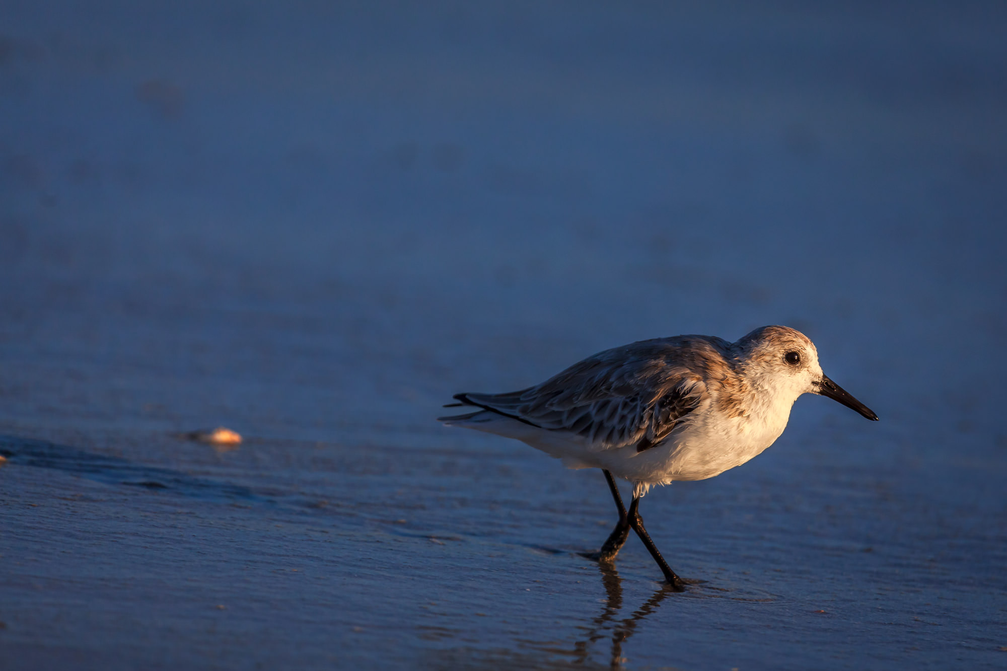 Sandpiper, Florida, beach, limited edition, photograph, photo