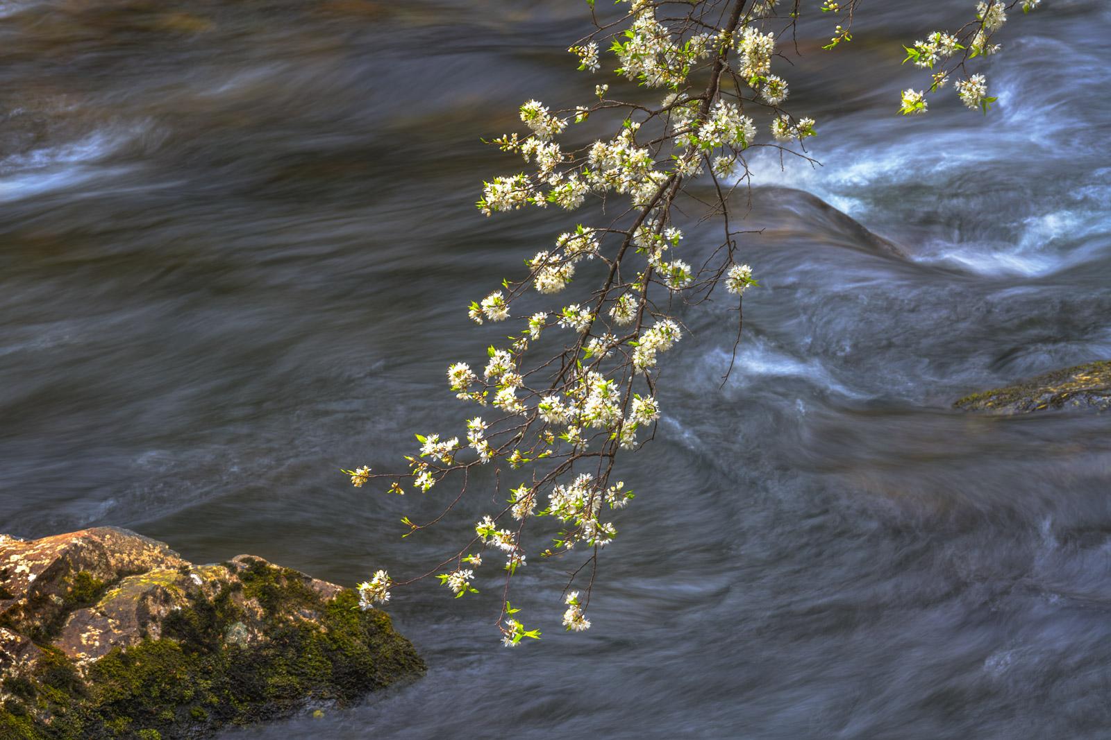 Smoky Mountains, Litte River, Dogwood, Tree
