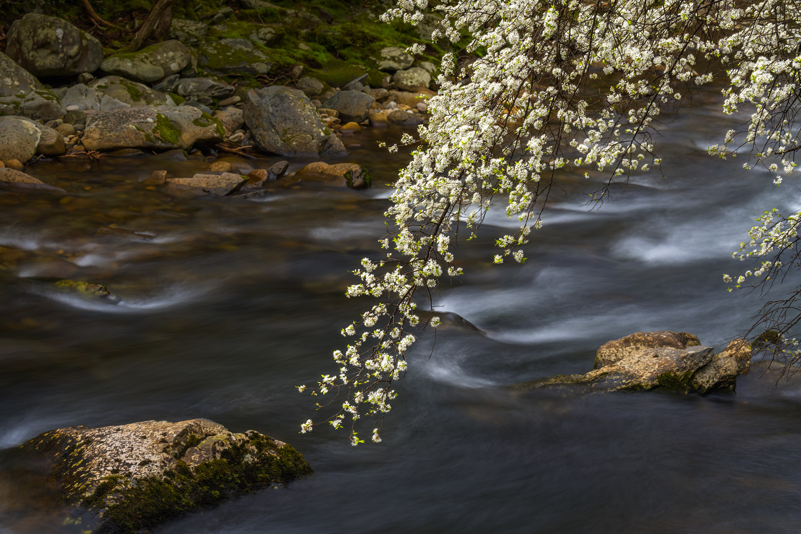 Smoky Mountains, Little River, Dogwood Tree, Spring