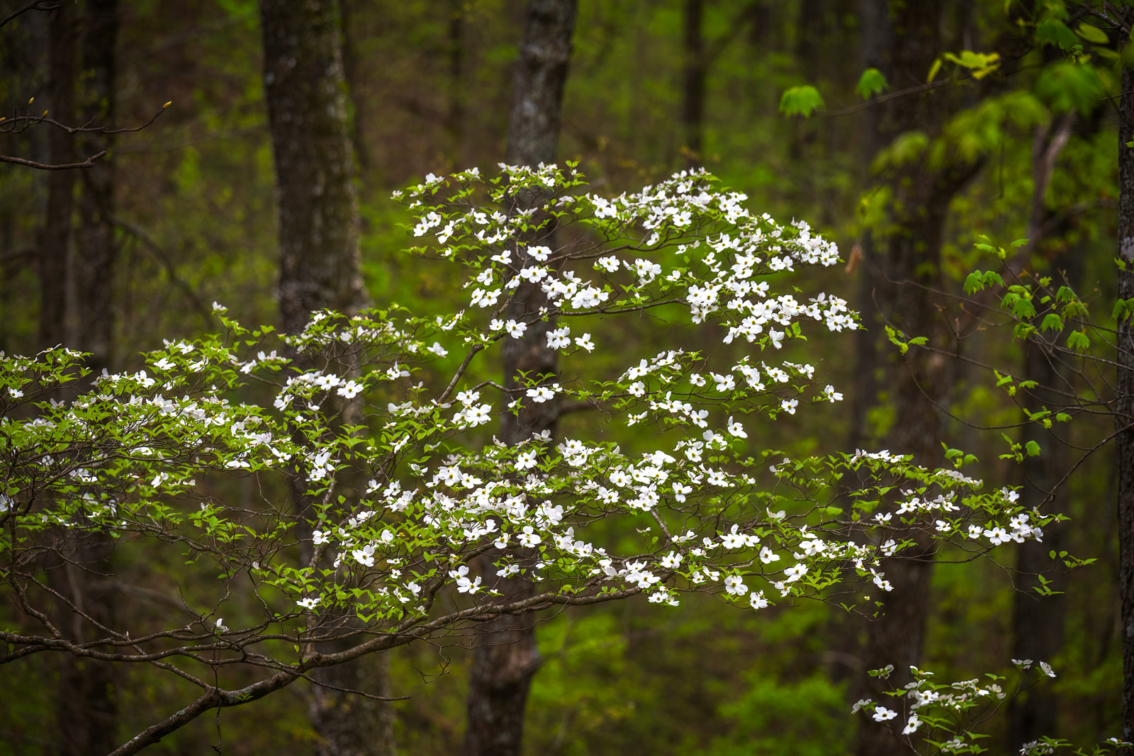 A Limited Edition, Fine Art photograph of a Dogwood tree in the forest with it's bright white blooms in Great Smoky Mountains...
