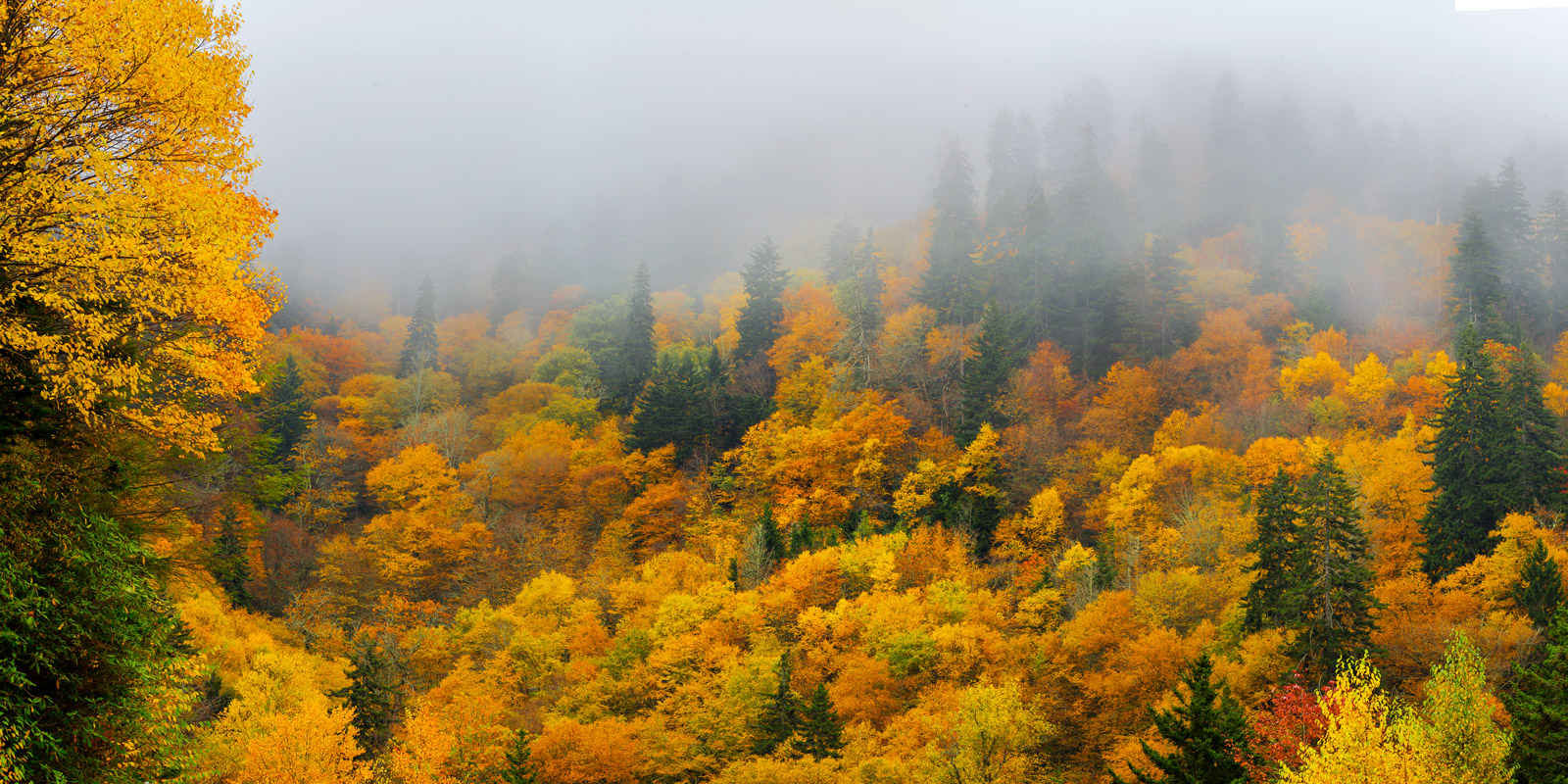 A Limited Edition, Fine Art photograph of Smoky Mountains Fall color with trees with brilliant fall colors in the fog in the...