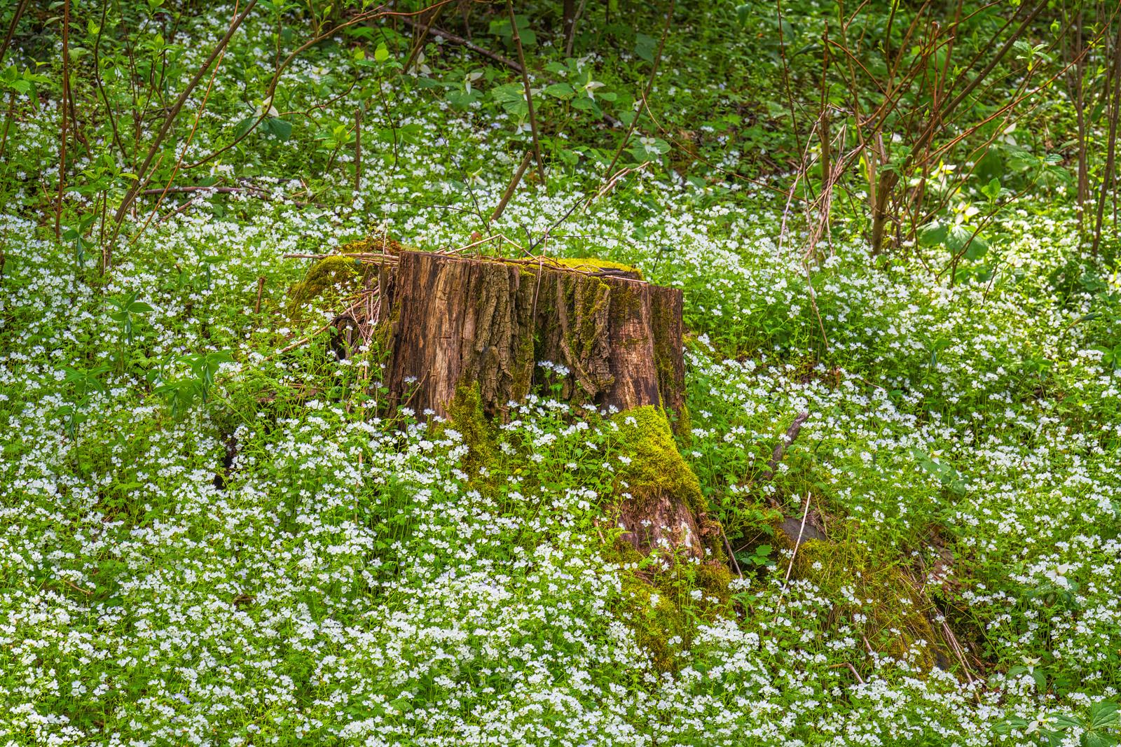 Smoky Mountains, Flowers, White, Spring