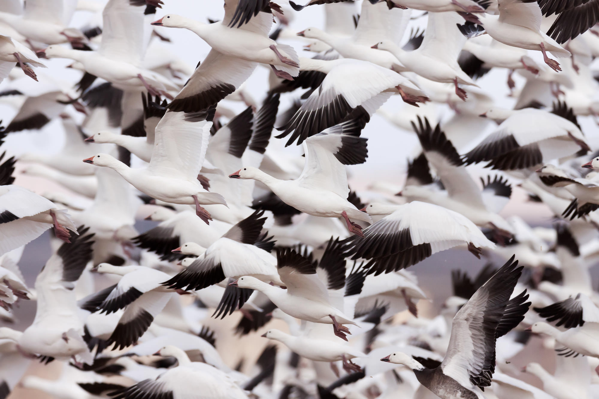 Geese, Snow Geese, New Mexico, Bosque del Apache, limited edition, photograph, fine art, wildlife, photo