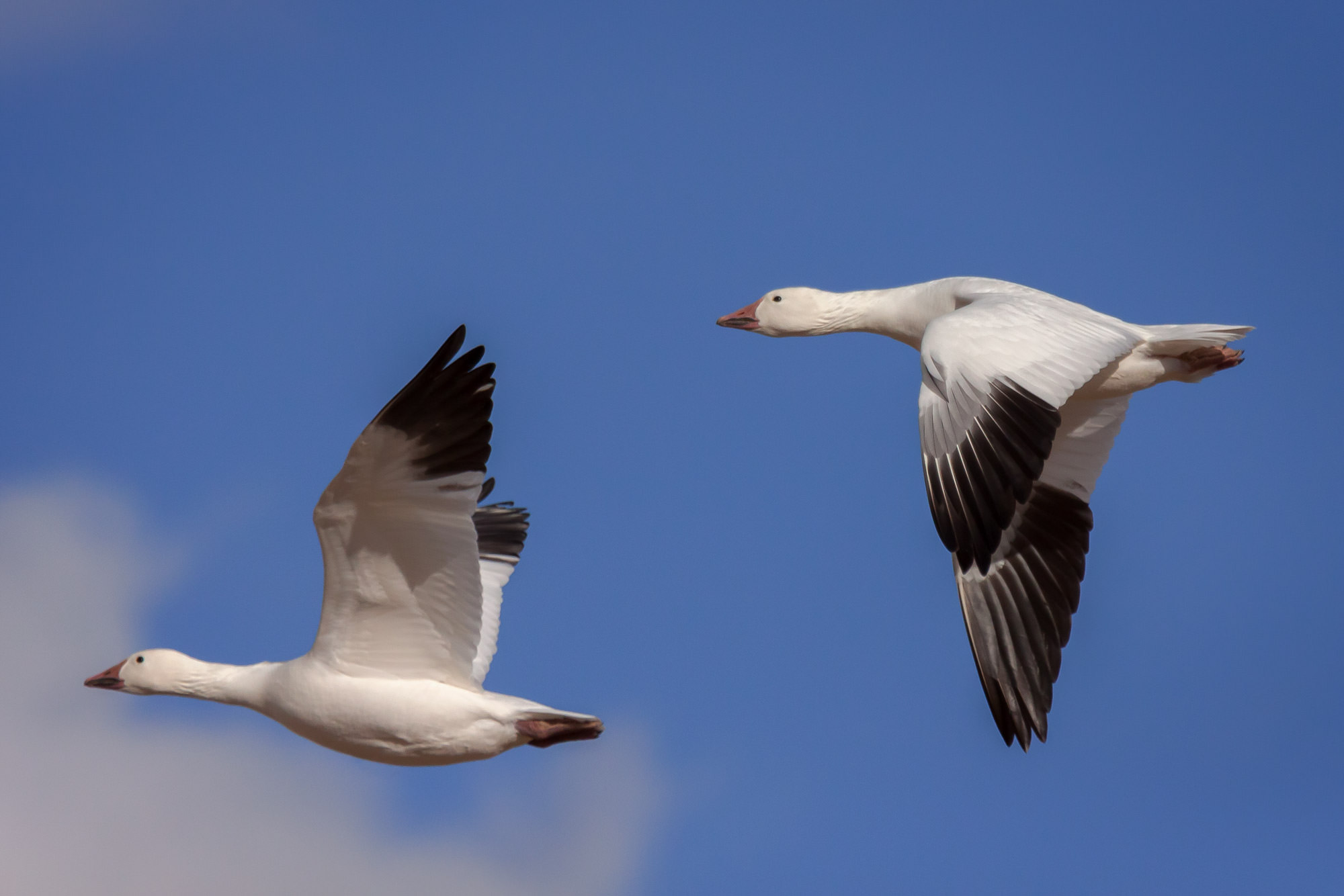 Snow Geese Fine Art Photography A Limited Edition photograph of a pair of Snow Geese with wings both up and down at Bosque del...
