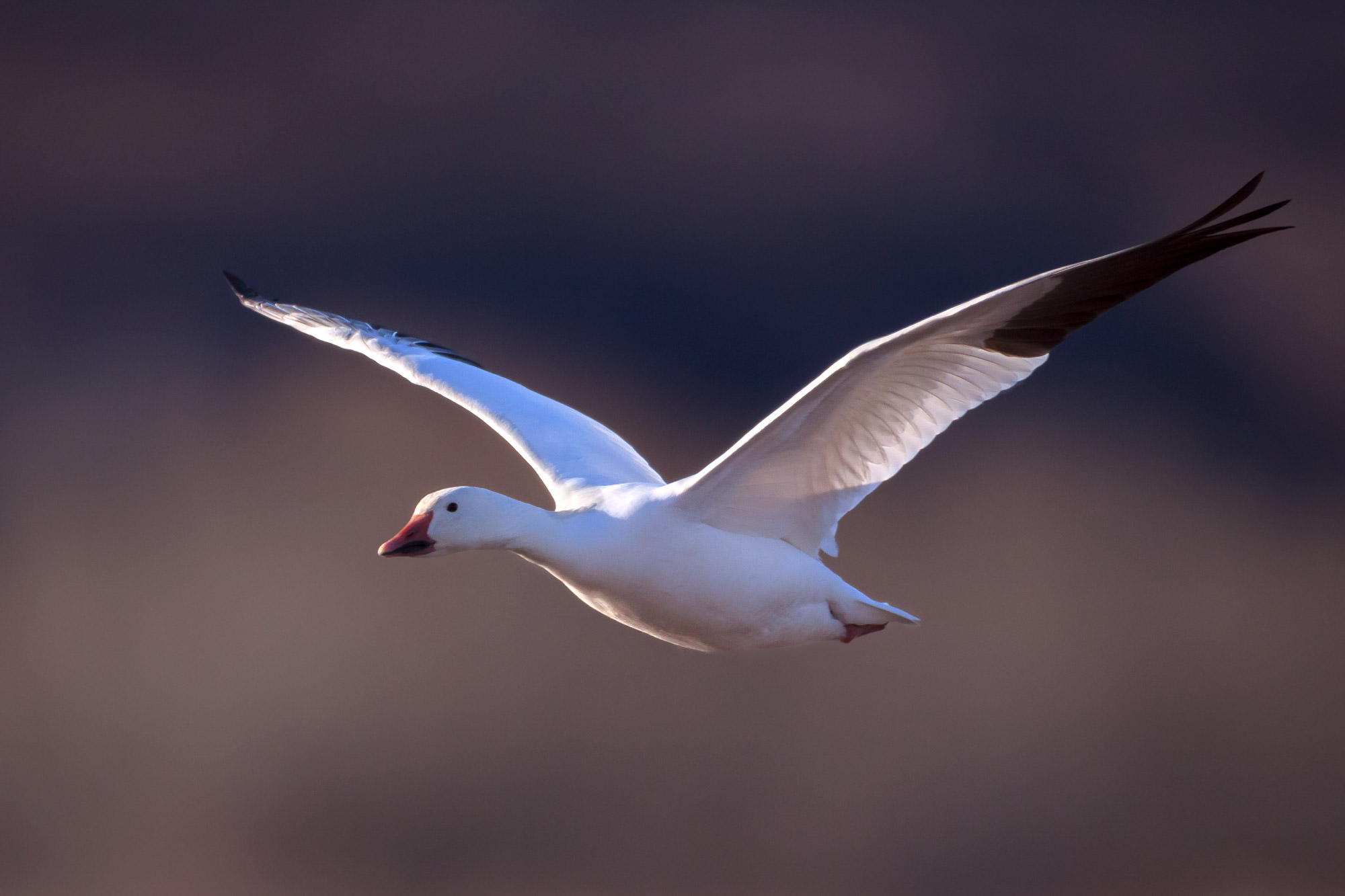 Goose, Snow Goose, New Mexico, Bosque del Apache, limited edition, photograph, fine art, wildlife, photo