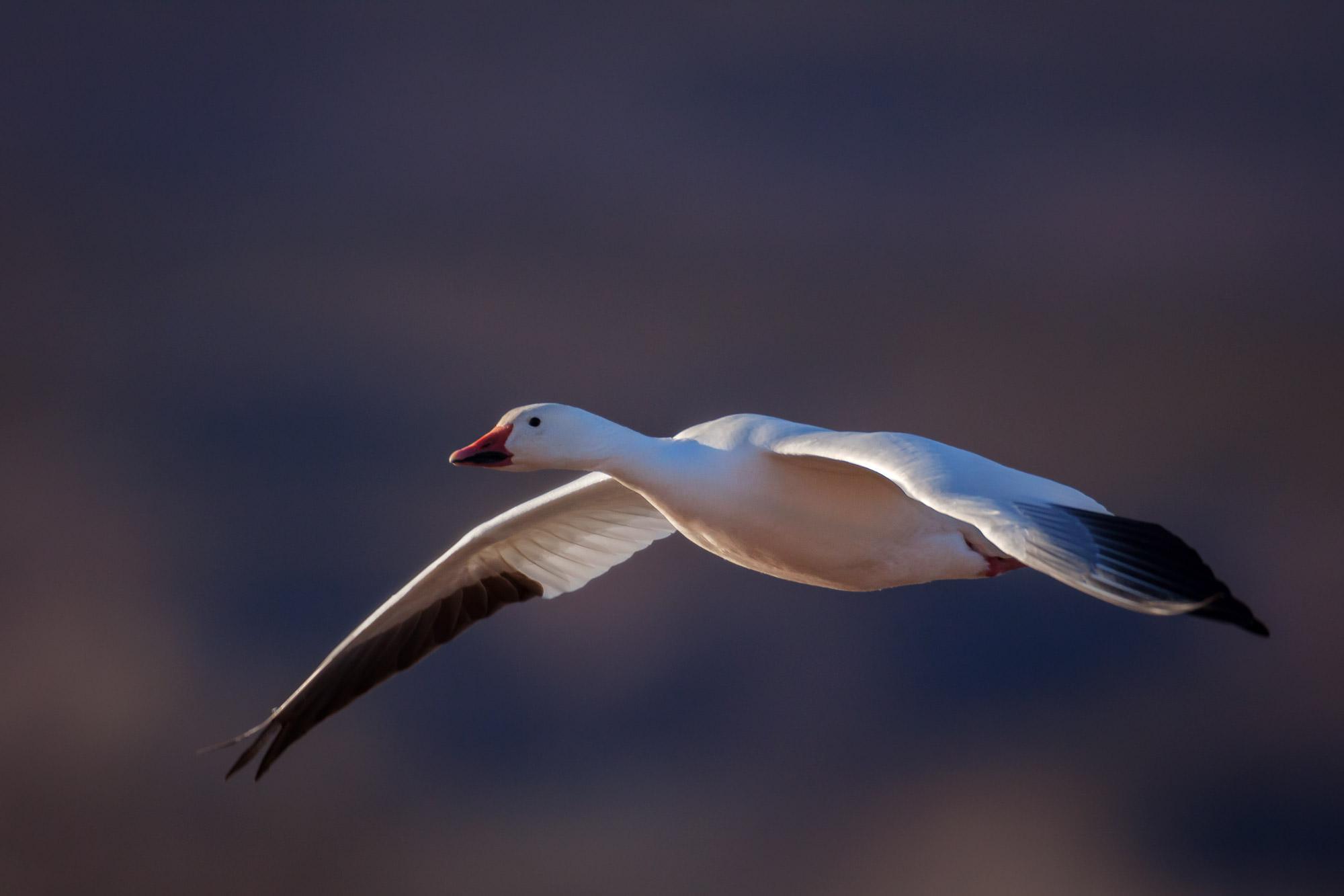 Goose, Snow Goose, New Mexico, Bosque del Apache, limited edition, photograph, fine art, wildlife, photo