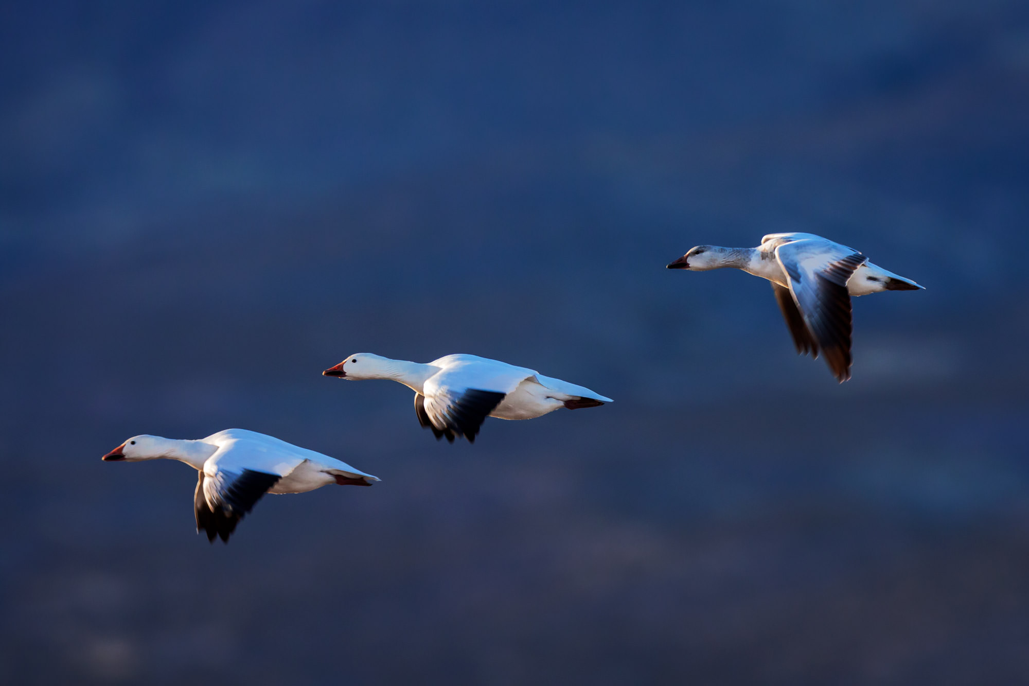 Snow Geese Fine Art Photography A Limited Edition photograph of three Snow Geese in flight at Bosque del Apache National Wildlife...