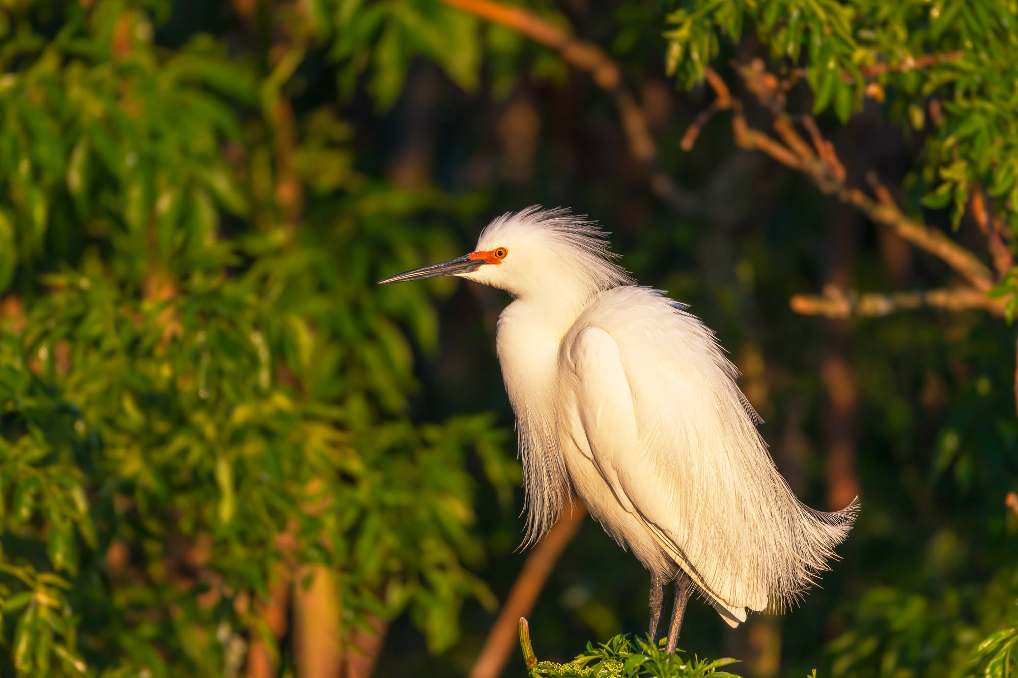 Egret, Snowy Egret, Florida, photo