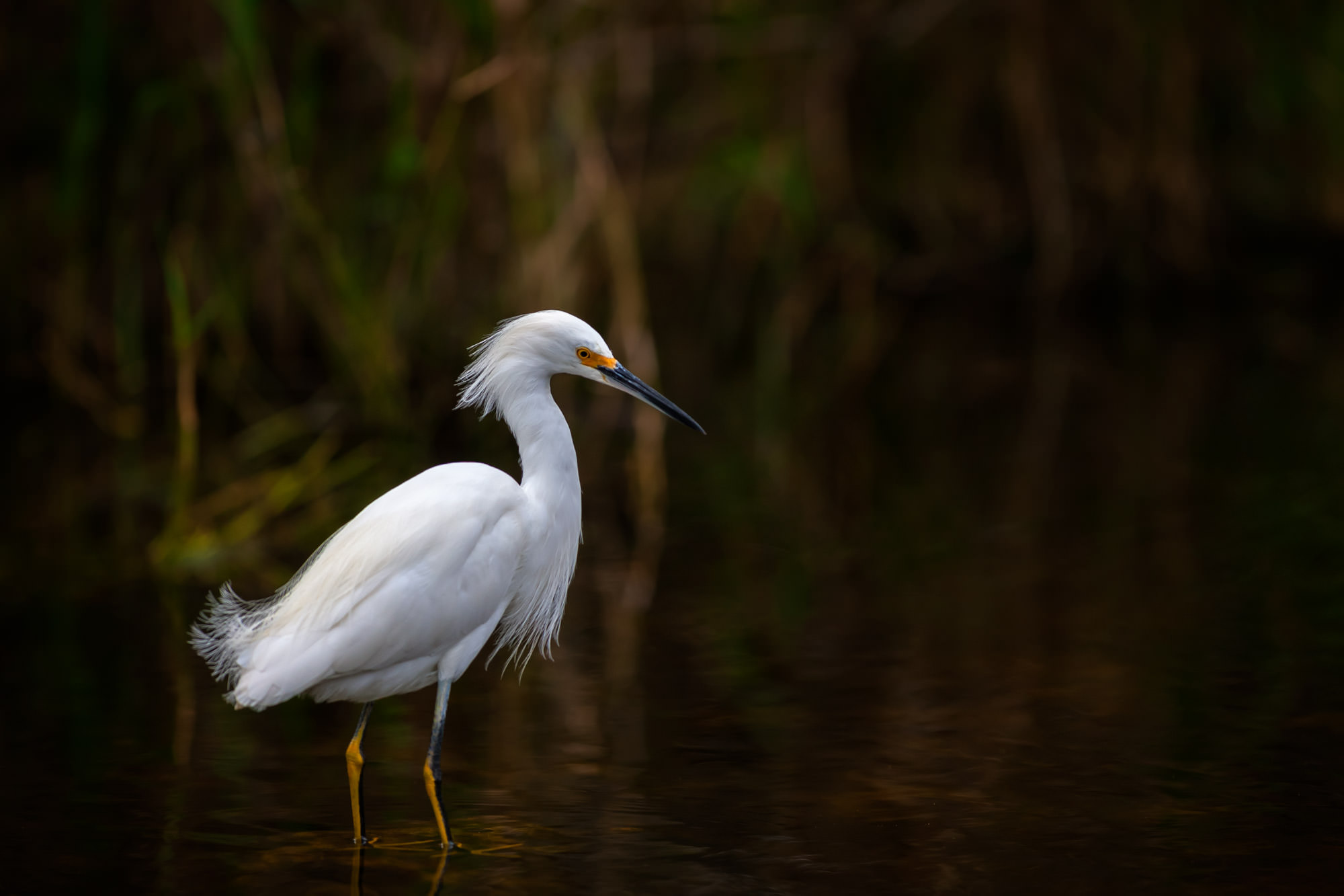 Egret, Snowy Egret, Florida, photo