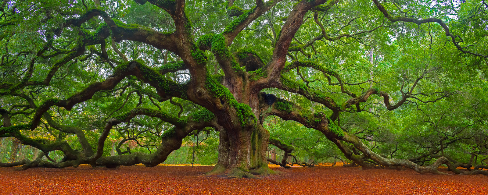 A Limited Edition, Fine Art photograph of Angel Oak Tree, a huge sprawling oak tree with its limbs reaching out wide in Charleston...
