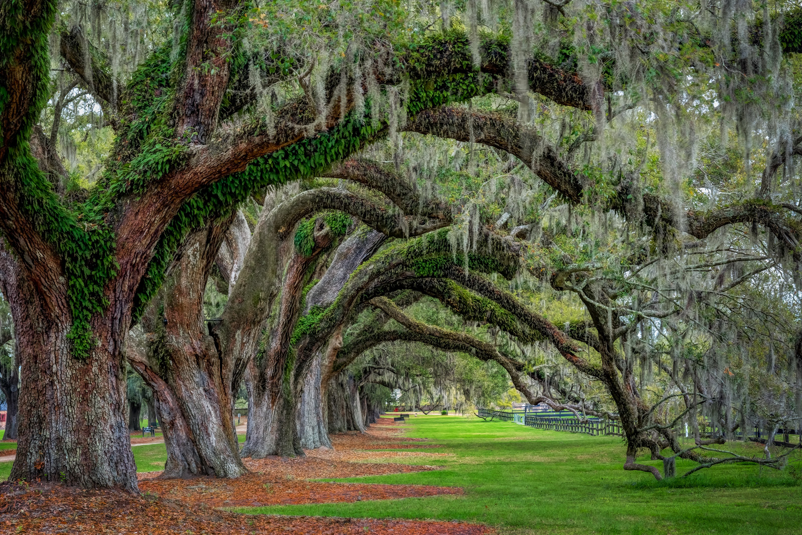 A Limited Edition, Fine Art photograph of an oak tree tunnel formed by overhanging limbs of huge oak trees in Charleston, South...
