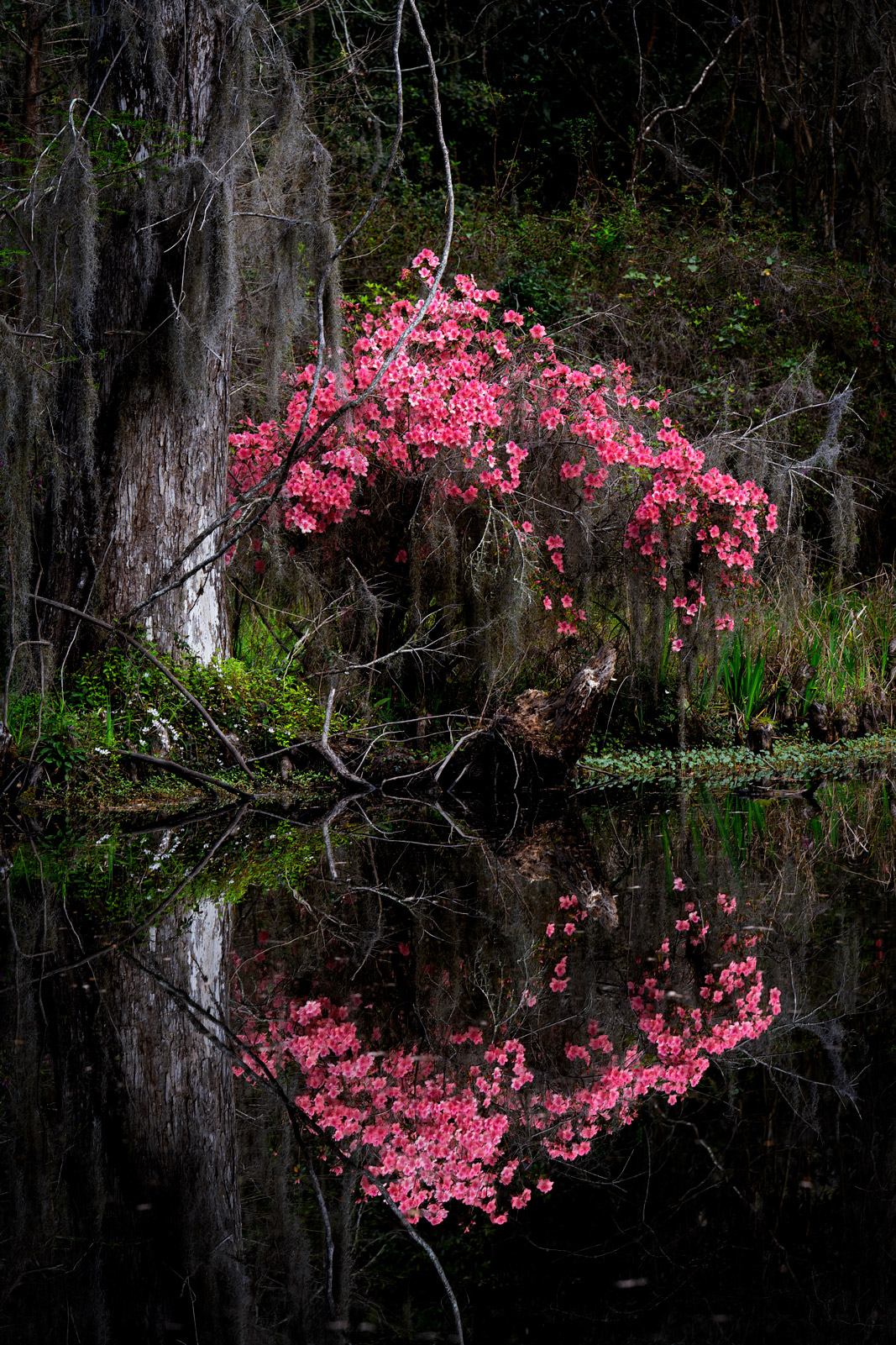 A Limited Edition, Fine Art photograph of Azaleas reflecting in the water at the Magnolia Plantation in Charleston, South Carolina...