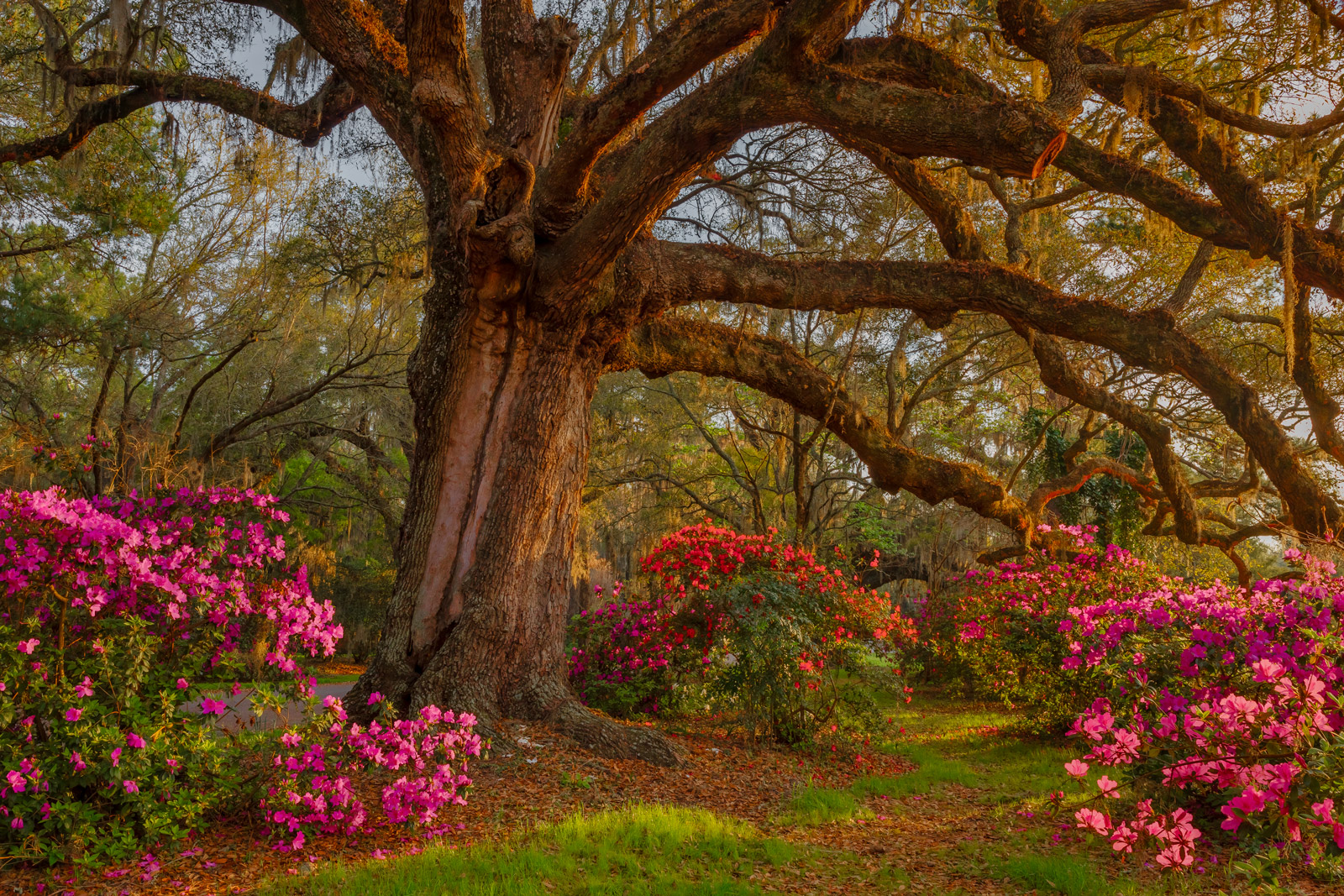 A Limited Edition, Fine Art photograph of a huge oak tree surrounded by blooming azaleas in the Spring at Magnolia Plantation...