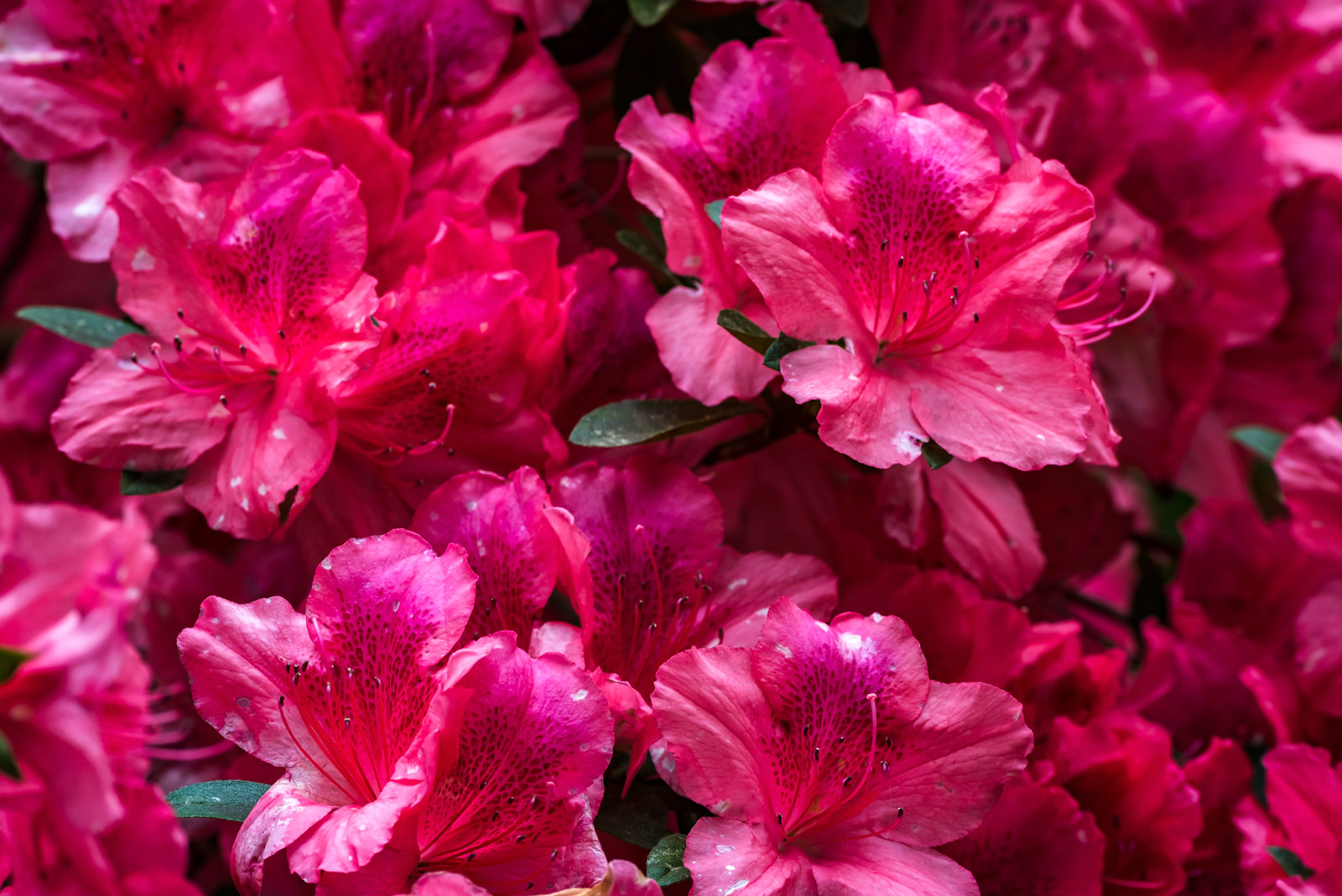 A Limited Edition, Fine Art photograph of a closeup of awesome red Azaleas blooming in the spring at the Magnolia Plantation...