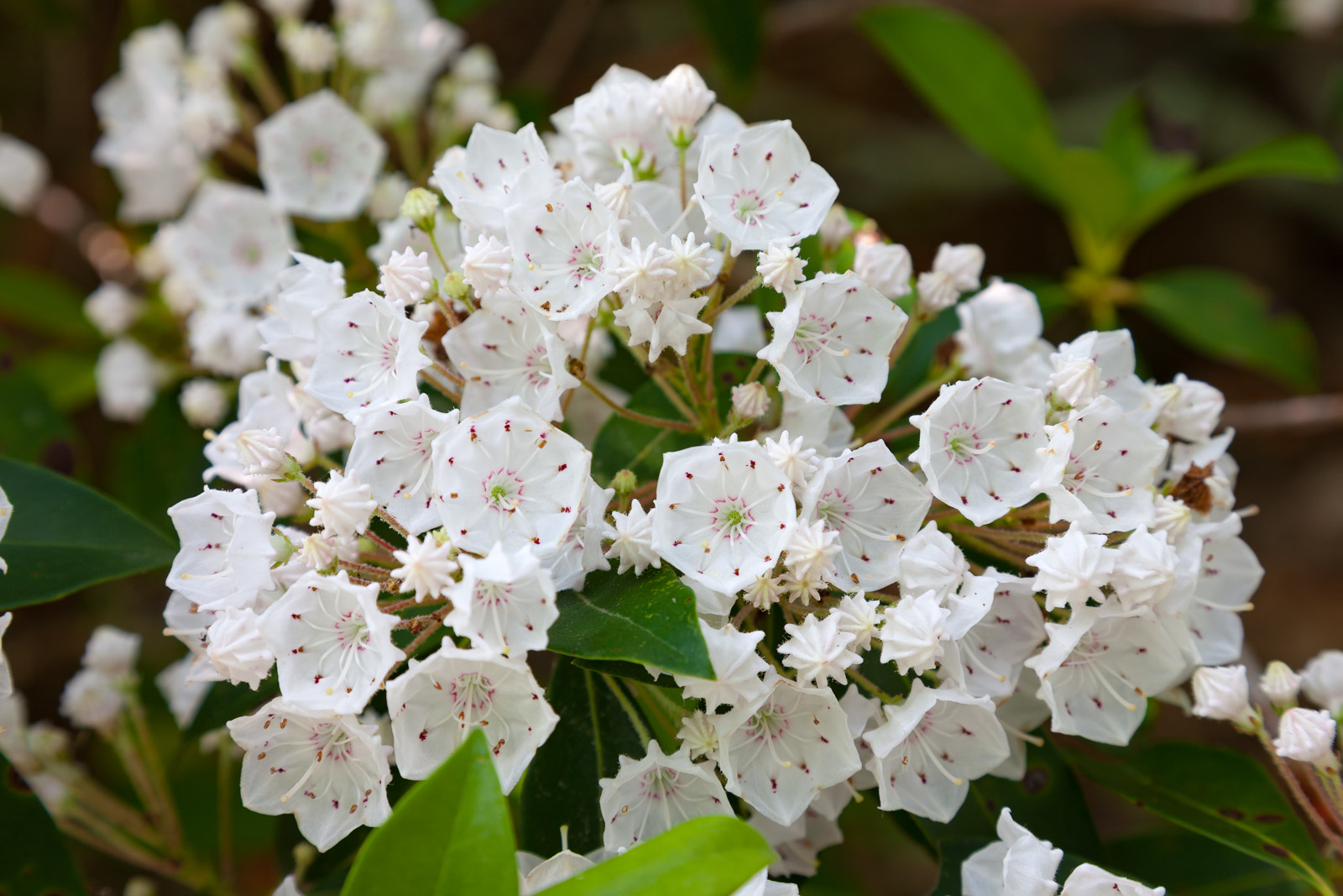 A Limited Edition, Fine Art photograph of a closeup of beautiful white Mountain Laurel blooming in the spring in Smoky Mountains...