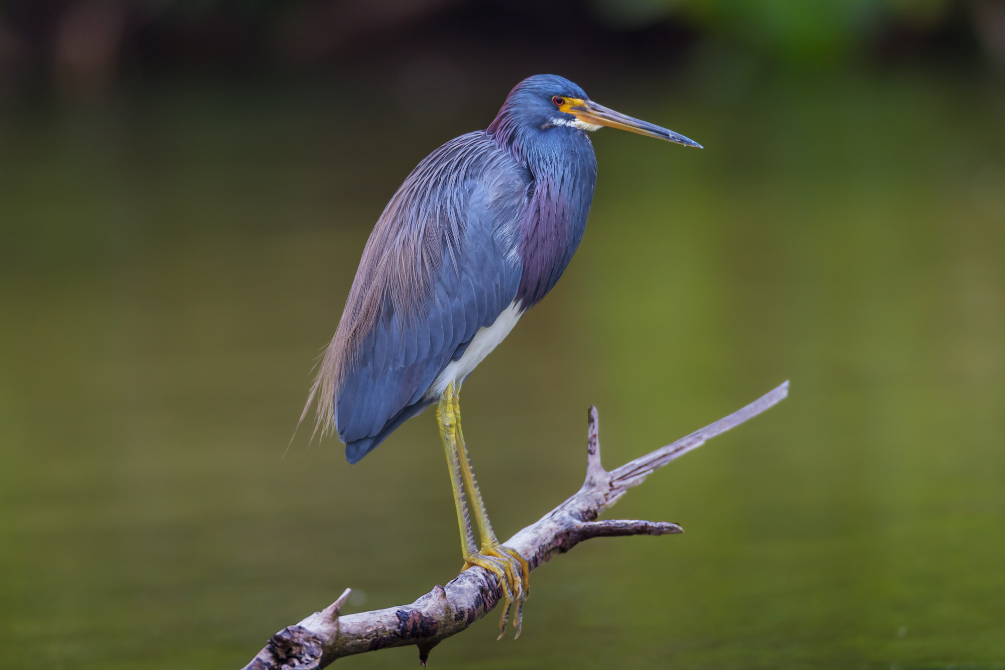 Heron, Tri Colored Heron, Florida, photo