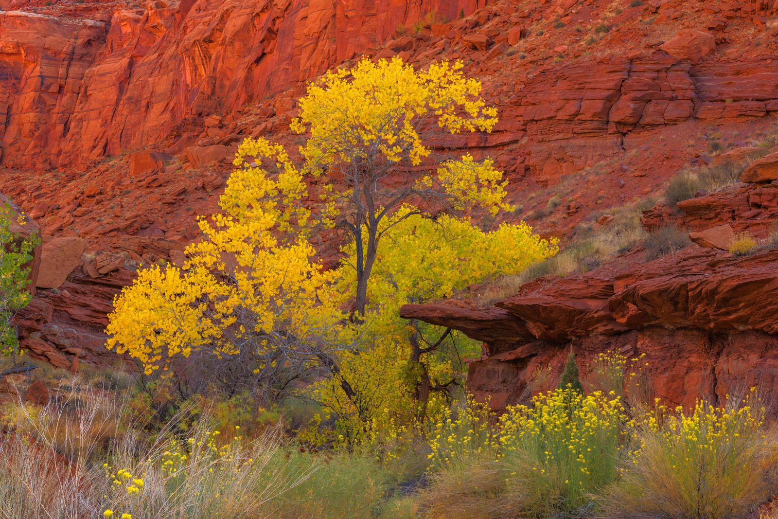 Utah, Hite, Canyons, Cottonwood, Tree, Red Rock, Fall Color, limited edition, photograph, fine art, landscape, photo