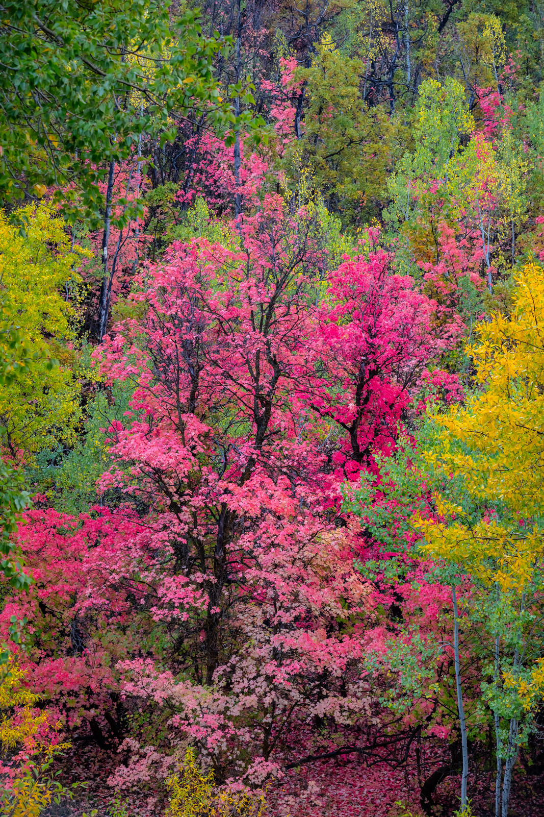 Utah, Wasatch, Mountain, Fall, Color, Aspen, Tree