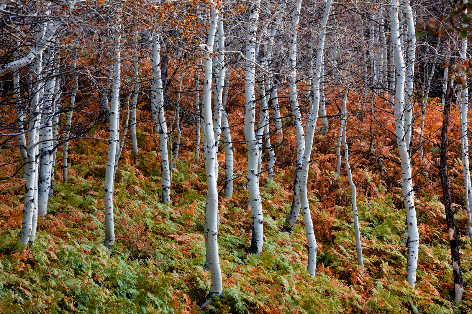 Utah, Aspen, Trees, Fall, Color, Wasatch, Mountains, limited edition, photograph, fine art, landscape, fall color, photo