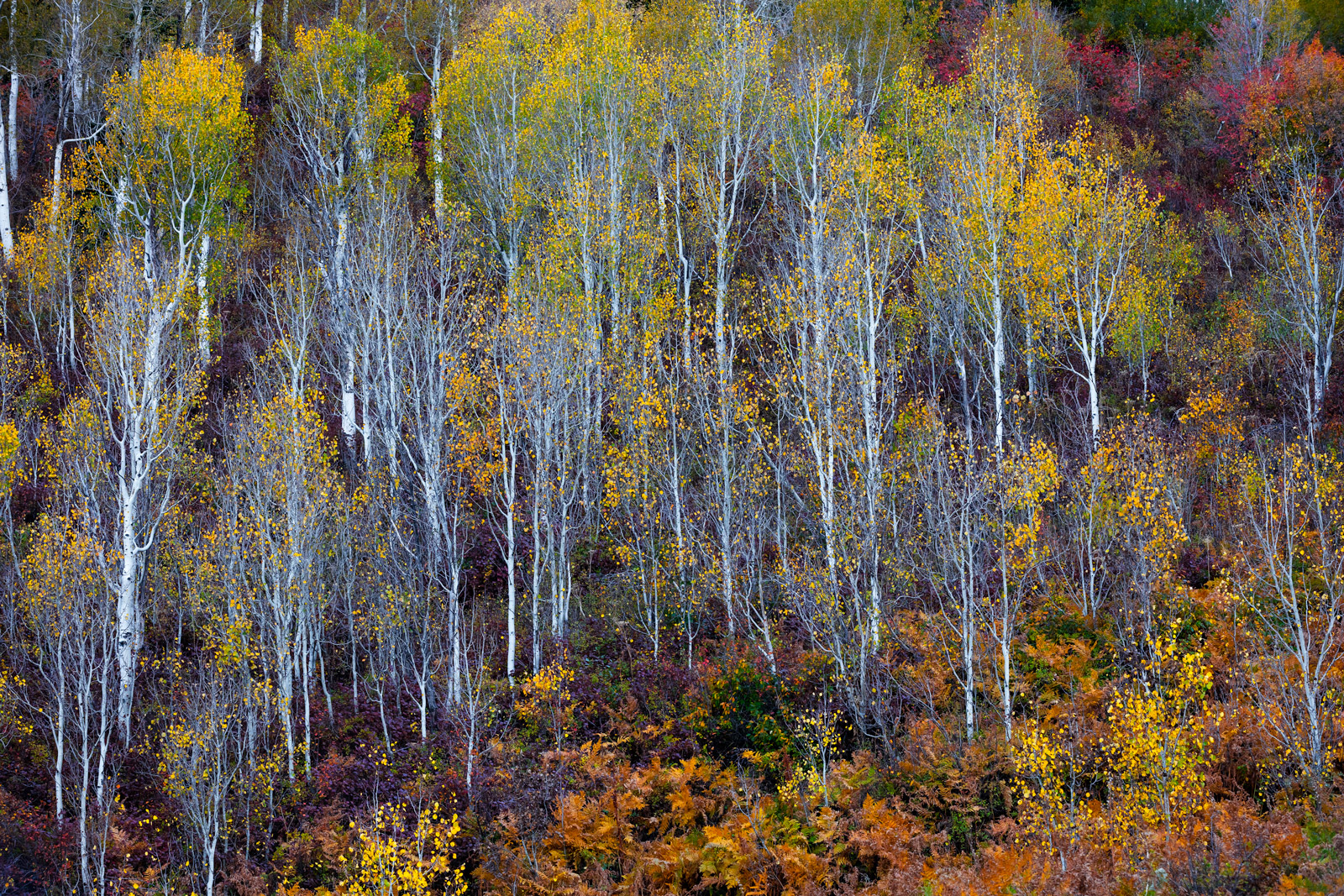 Utah, Wasatch, Mountains, Aspen, Trees, Fall, Color