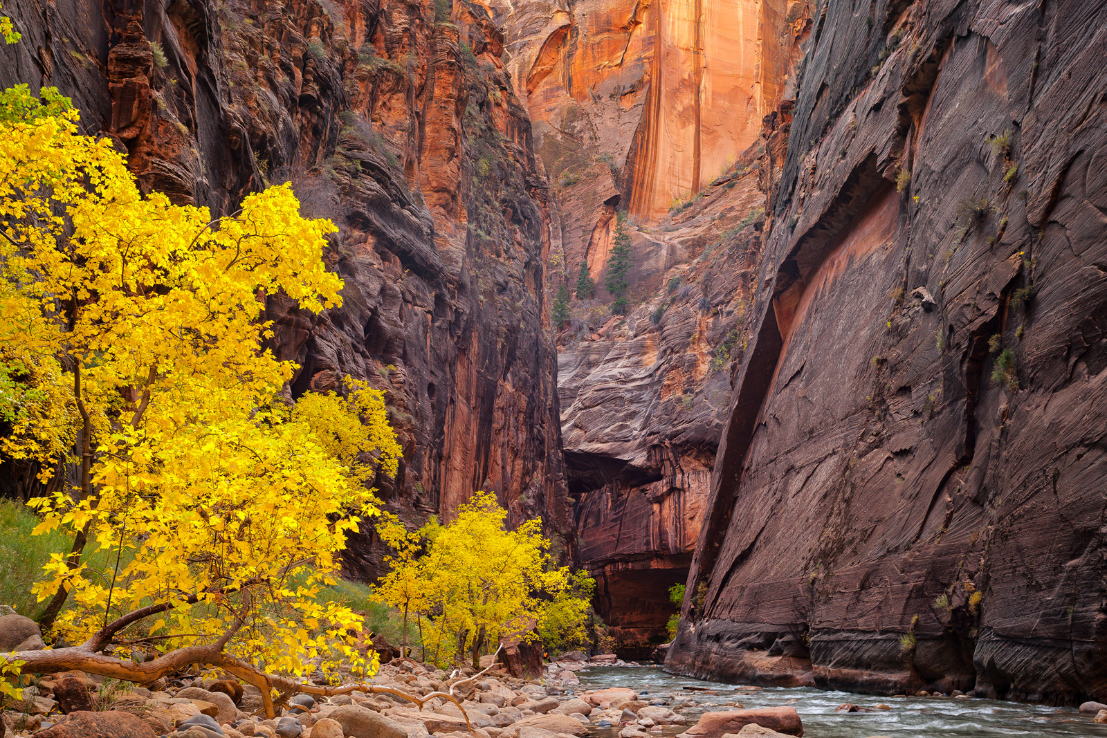 A Limited Edition photograph of The Narrows with a yellow Cottonwood tree in the fall along our path to escape in Zion National...